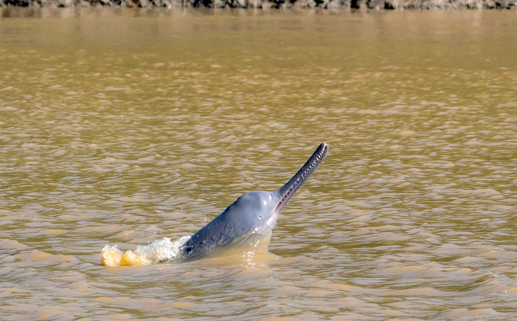 South Asian river dolphins inhabit the Indus, Ganga, Brahmaputra, Meghna, and Karnaphuli-Sangu river basins of Pakistan, India, Nepal, and Bangladesh. Photo: Dhiraj Ch Das  A Ganges river dolphin surfaces in the Brahmaputra River in Assam's Kaziranga Tiger Reserve. Getting such a picture of this elusive river dolphin is rare, as the species does not stay at the surface for very long. Cover Photo: Aditya Panda