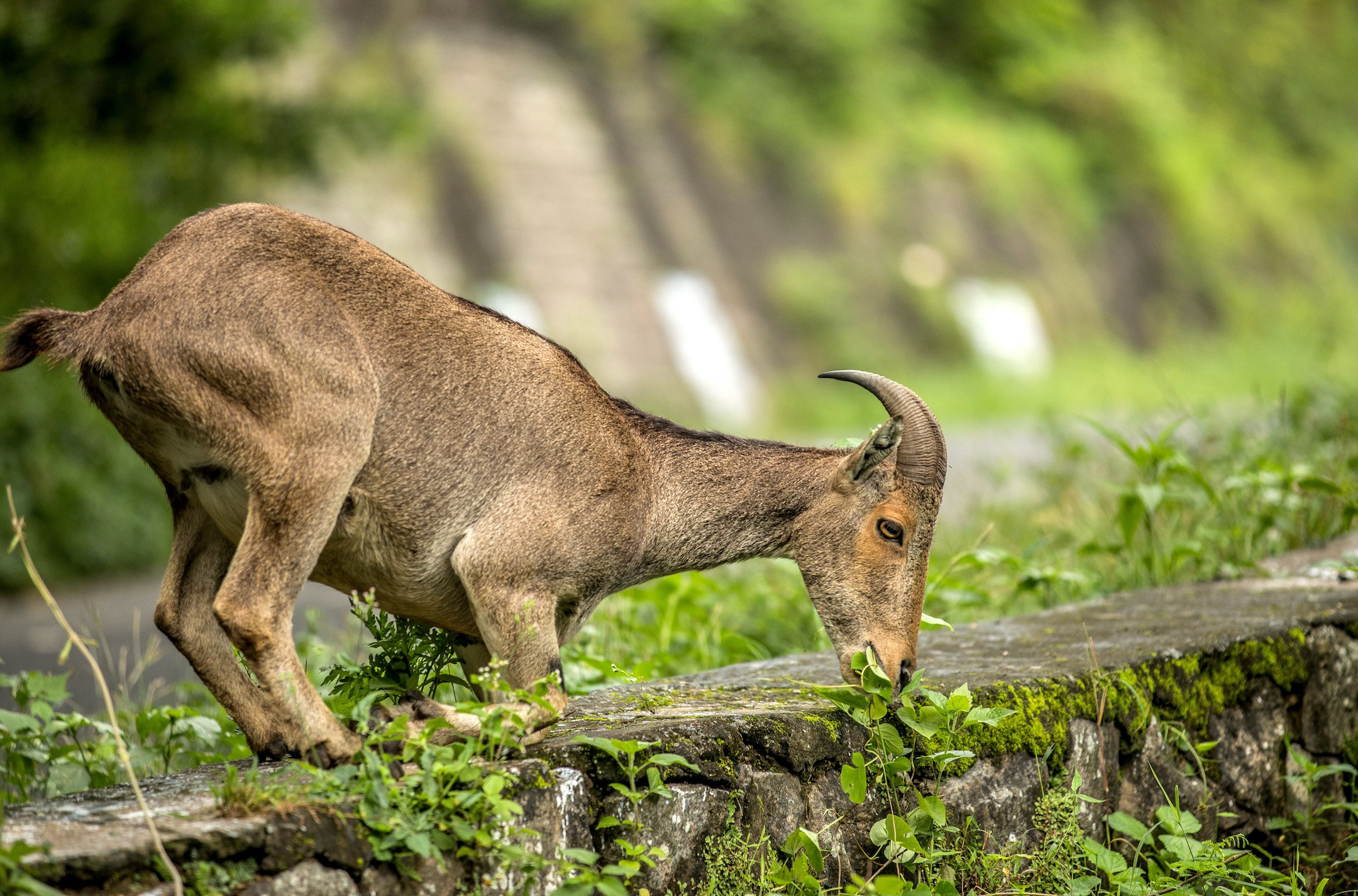 Like humans, the Nilgiri tahr is diurnal by nature, meaning they are active in the day. The animals spend early mornings and late afternoons grazing on grass and other shrubs, occasionally sauntering into areas of human habitation in search of food. Photo: Akshay Manwani