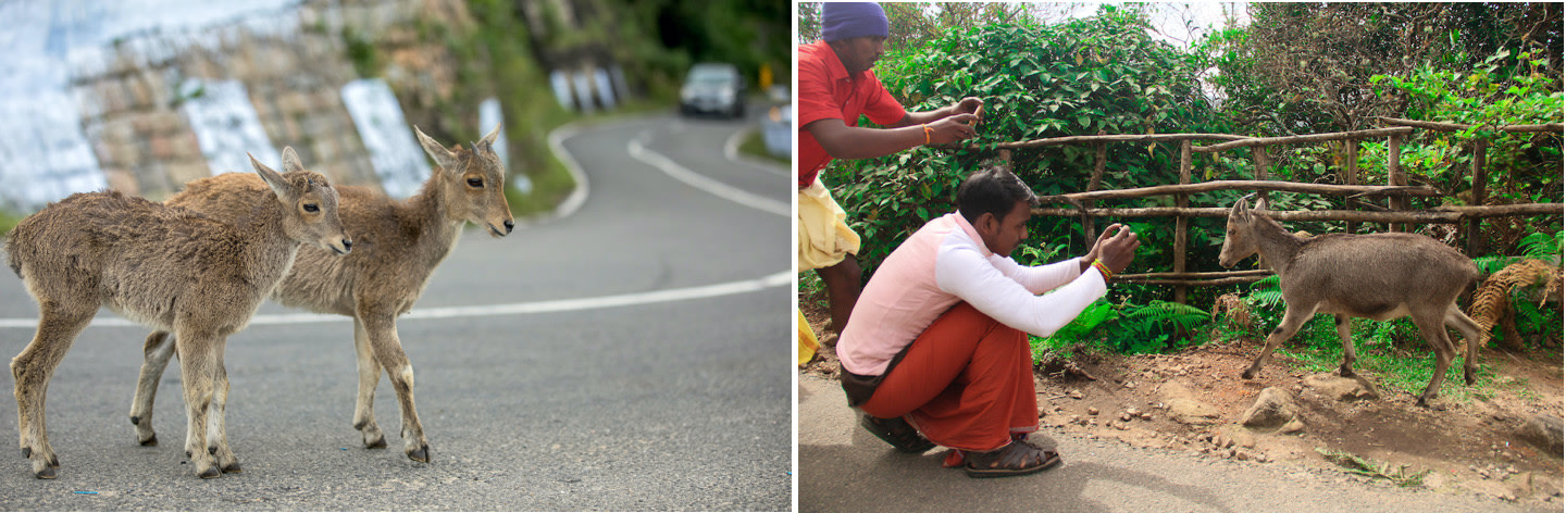 Due to increasing infrastructure in the Western Ghats, species like the Nilgiri tahr have to navigate road crossings (left) and rash drivers, even within protected areas like the Anamalai Tiger Reserve, where this image was taken; With the increase in logistical development, comes heightened contact with humans, which causes disturbance to the animal on most occasions (right). Photo: Akshay Manwani (left), Vedansh Pandey (right)