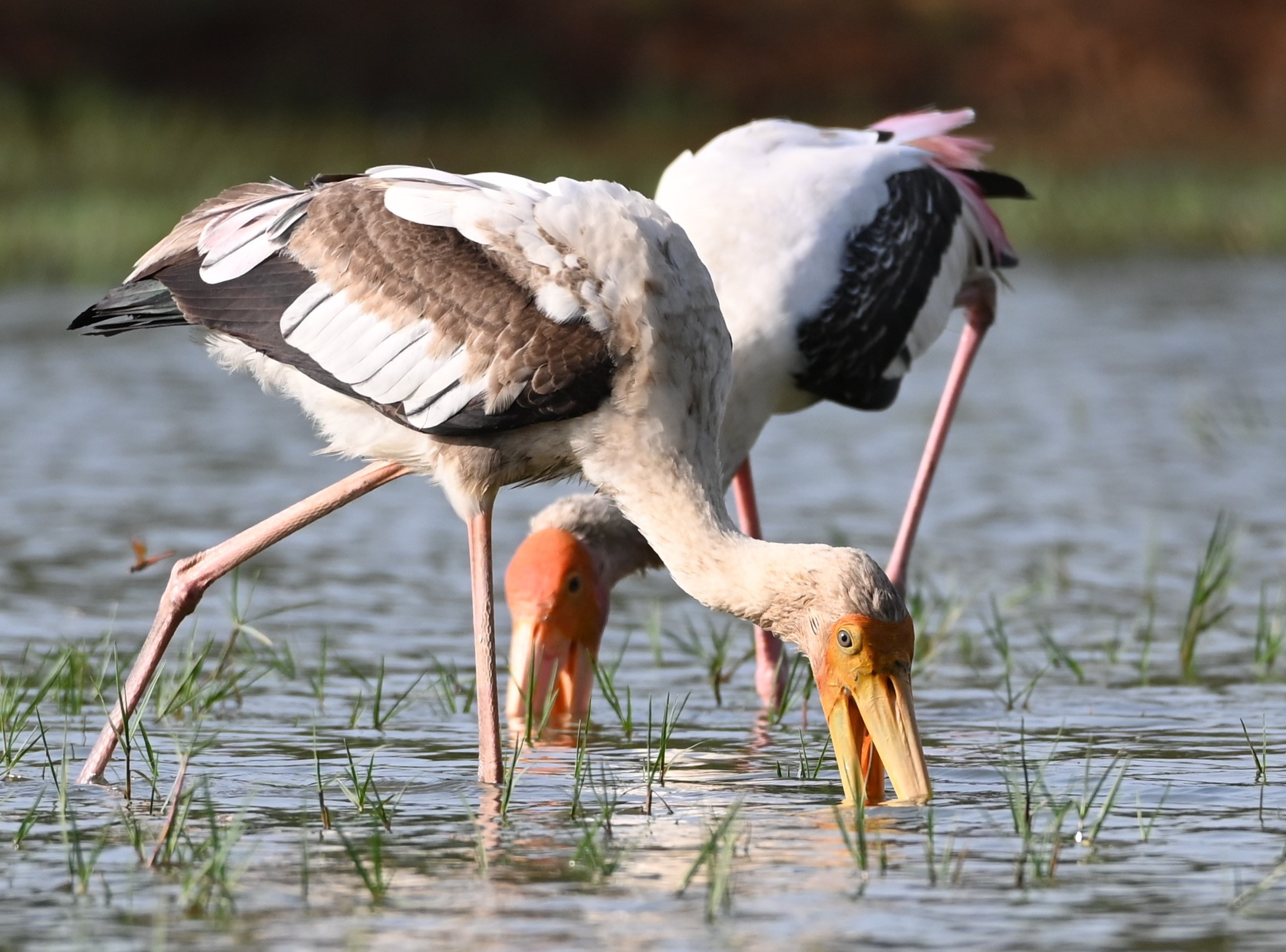 Painted storks hold their bills open underwater, waiting for the movement of prey. When they feel a fish touch the beak, they snap it shut.