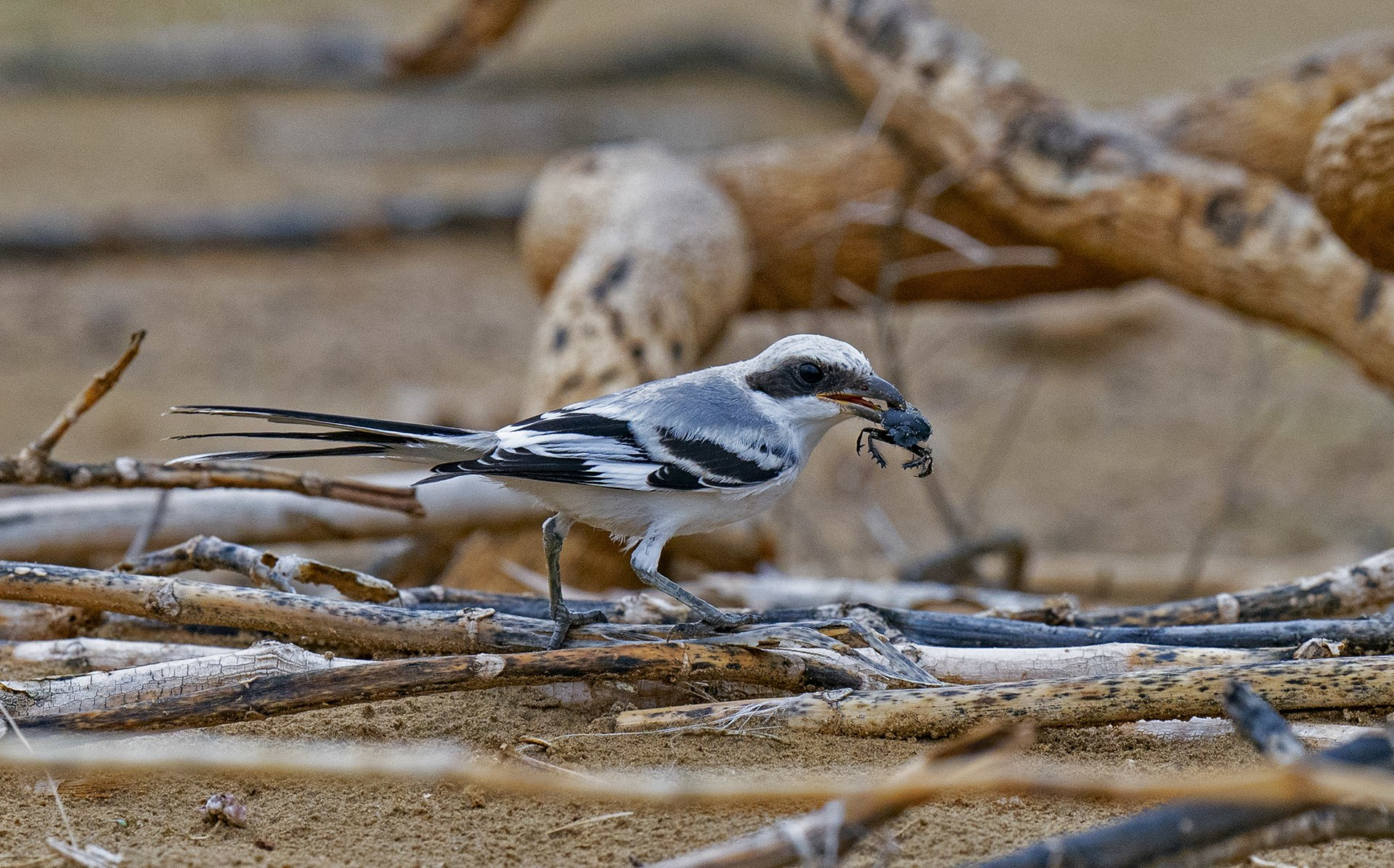 Many species of birds, including the great grey shrike, eat dung beetles, as they are a plentiful source of nutrition. Photo: Dhritiman Mukherjee