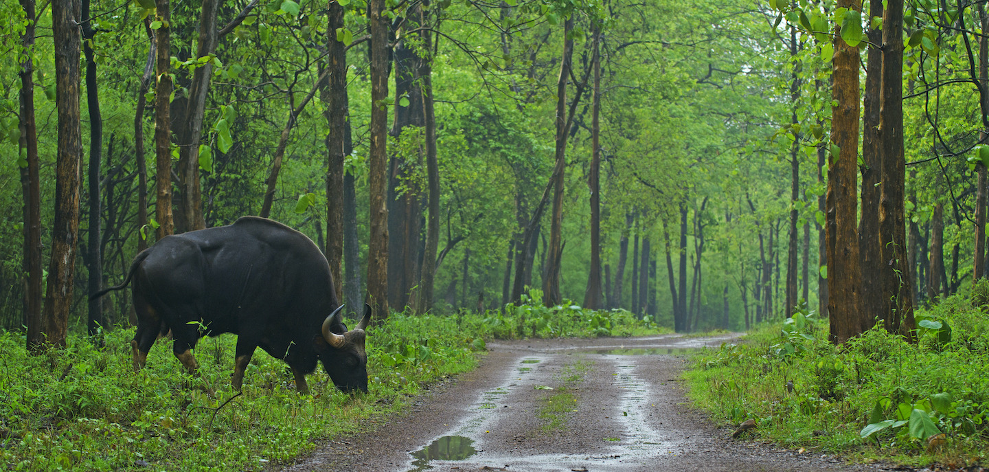 "The gaur is often called the Indian ""bison"" though technically, the species does not belong to the same genus."