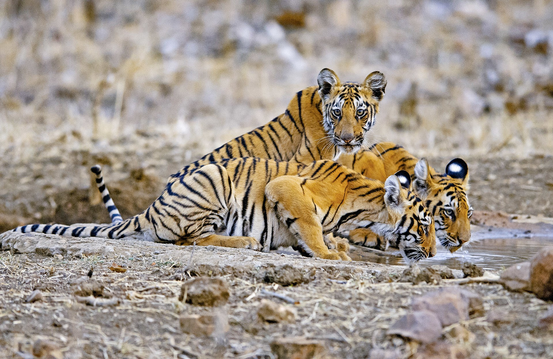Tadoba National Park is known for its sightings of tiger cubs, the current favourite being the tigress Madhu's photogenic trio.