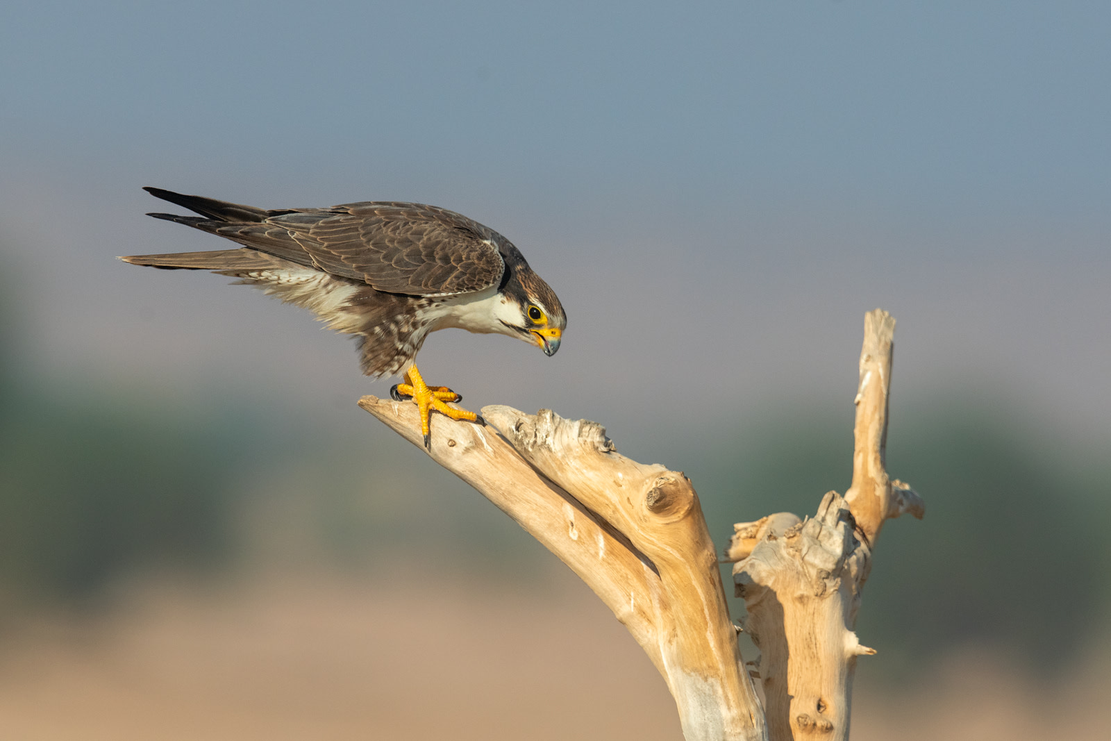 """Laggar falcons (Falco jugger) are considered residents of Desert National Park as they breed here. These small-sized raptors nest in trees in the sanctuary, especially on the outskirts of villages. Laggar falcons are dedicated parents, and both male and females incubate the eggs, hunt for food, and train the young. """"Most raptors pair for life,"""" says Dr Rahmani, """"but unless we do long-term studies on marked birds, it is not easy to say laggars pair for life"""". Photo: Soumabrata Moulick"""