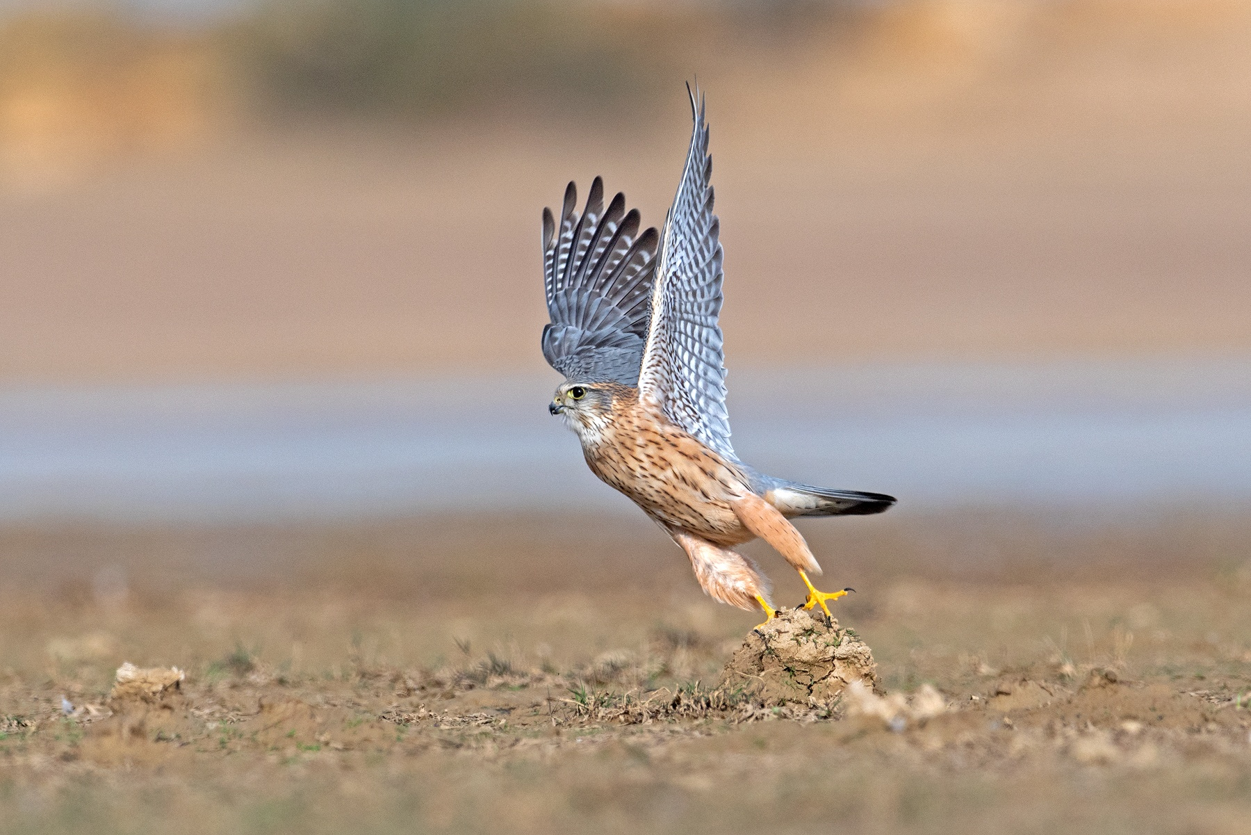 Among the park's most feisty inhabitants is the merlin (Falco columbaris) that visits the park in the winter months. Like other members of the falcon family, merlins are agile hunters that ambush prey by flying relatively low over the ground and flushing them out of bushes and short trees. Photo: Yash Kothiala