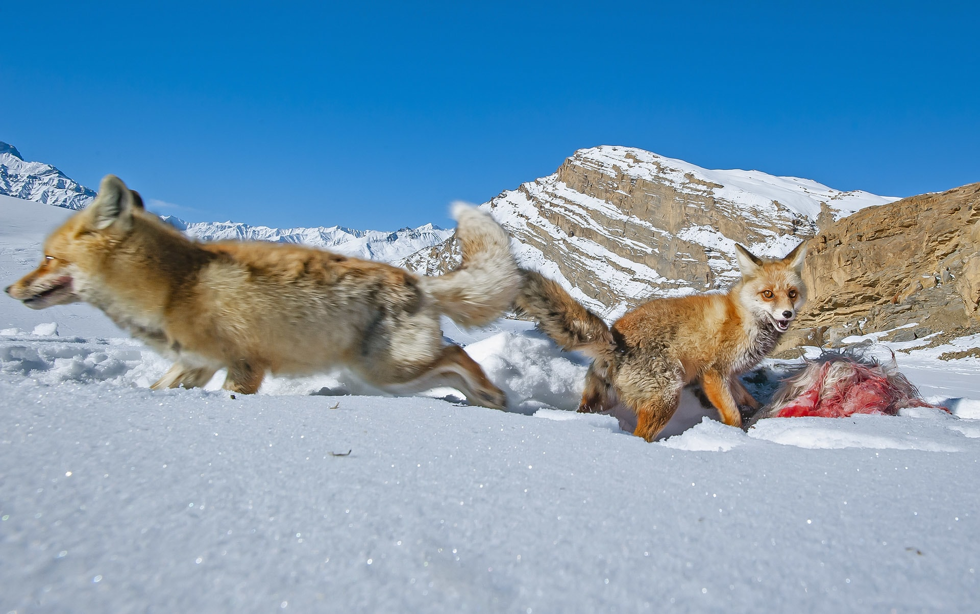 """Competition can sometimes be fierce between foxes, especially in the winter months, when nutrition is hard to come by. This image was taken in Langza village, Spiti Valley, Himachal Pradesh, where """"two foxes were fighting over a piece of fresh sheep skin,"""" says photographer Dhritiman Mukherjee."""