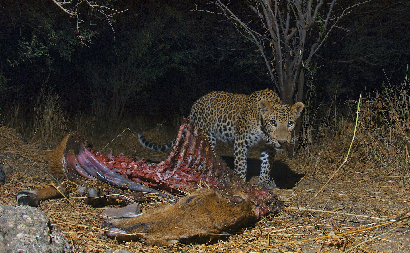 """The leopards in Bera do not rely on livestock for food, as evidenced by the presence of wild animal carcasses in the forests around the region. This image of a nilgai kill was taken inside a private piece of land, a little over ten acres in size, parts of which were cultivated. """"There is one hill on the property,"""" says Dhritiman, """"where some leopards live. I saw a total of four individuals there during my stay""""."""