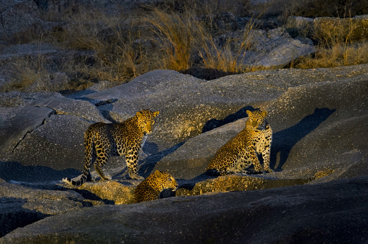 """The relationship between humans and leopards in Bera raises many questions, the most crucial being whether it is really possible for human beings to coexist with wild animals, especially big cats like leopards. """"Absolutely,"""" says Athreya. The ecologist believes that """"a lot of societies like the US, Africa, and India have a long history of shared spaces, that was altered under colonial rule. We lost thousands of animals during British rule, because they were declared vermin and culled away"""". Lately, however, Athreya believes """"we might be returning to our own narrative, of an interwoven existence""""."""