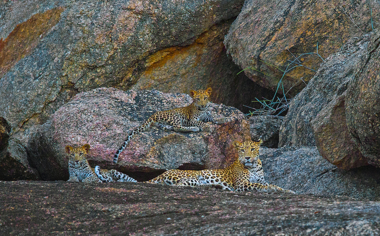 """Being able to observe leopards in places like Bera has altered our understanding of the animal's behaviour. For decades leopards were considered solitary creatures that gathered only to mate, but photographic evidence of them in groups like these, have caused researchers like Athreya to reconsider. """"We now know that females are almost always accompanied by cubs, young and subadult,"""" Athreya says. """"Our study in Maharashtra has yielded evidence of a subadult mother and son resting together, and roaming around during the night-time, and we've got pictures of them on the same trail, within half an hour of each other. So, they are not social like lions, but they are certainly not solitary."""""""