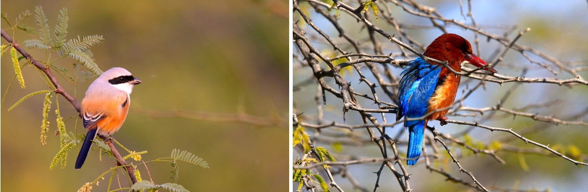 A long-tailed shrike (left) and a white-throated kingfisher (right) wait patiently for prey. While the shrike primarily feeds on lizards and insects, the kingfisher will take crustaceans, snakes, fish, and frogs. Photos: Mayank Bohra