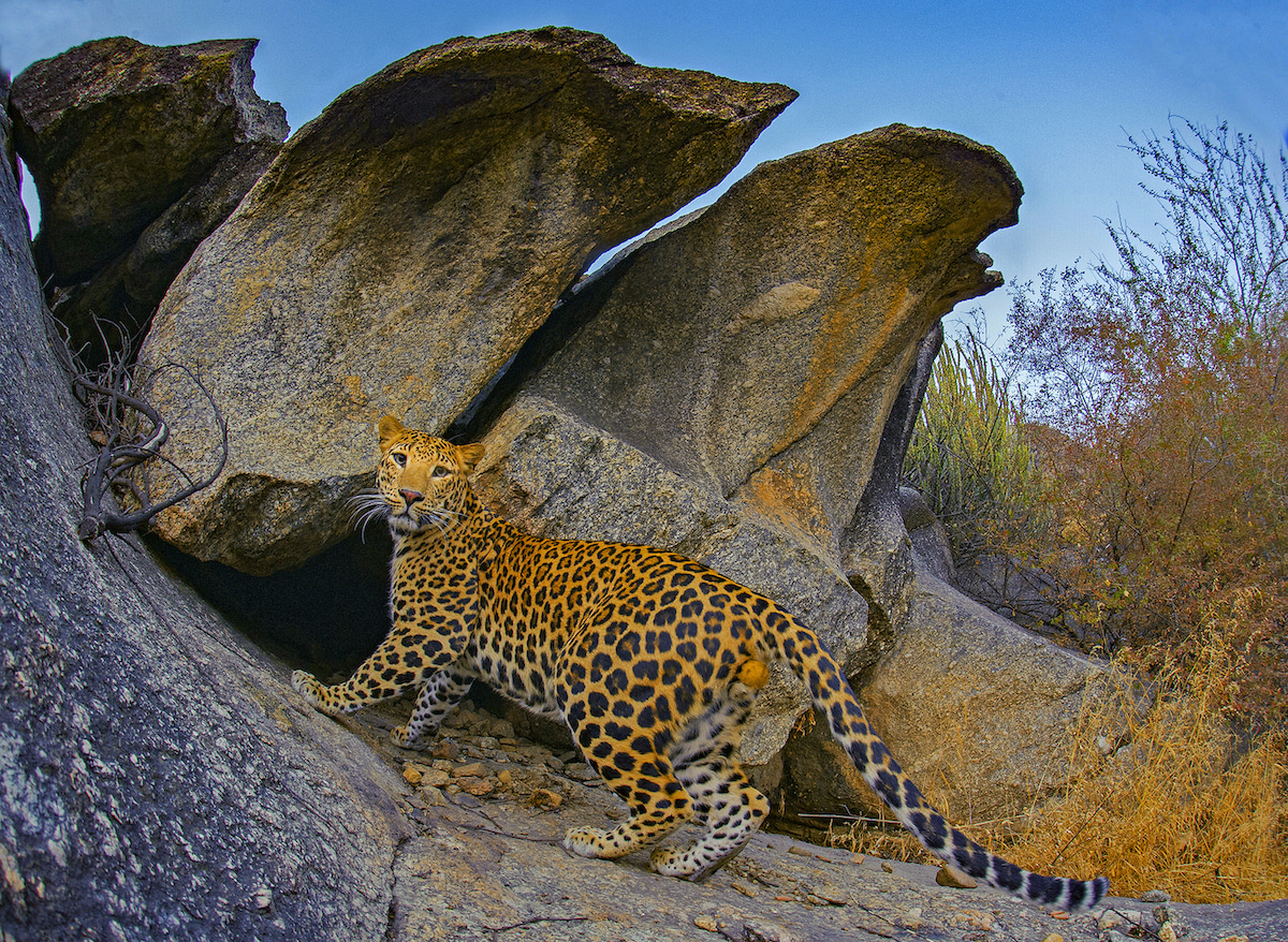 """Seeing groups of leopards together raises questions about the territorial nature of leopards. The popular understanding is that leopards have clearly marked territories that do not overlap with each other, but Athreya and photographer Mukherjee, both have evidence that suggests the contrary. """"In these two pictures, you can clearly see two different leopards — one male, and one female — in the same cave,"""" says Mukherjee. """"Both images were taken on a single trip to Bera, which lasted about ten days."""""""