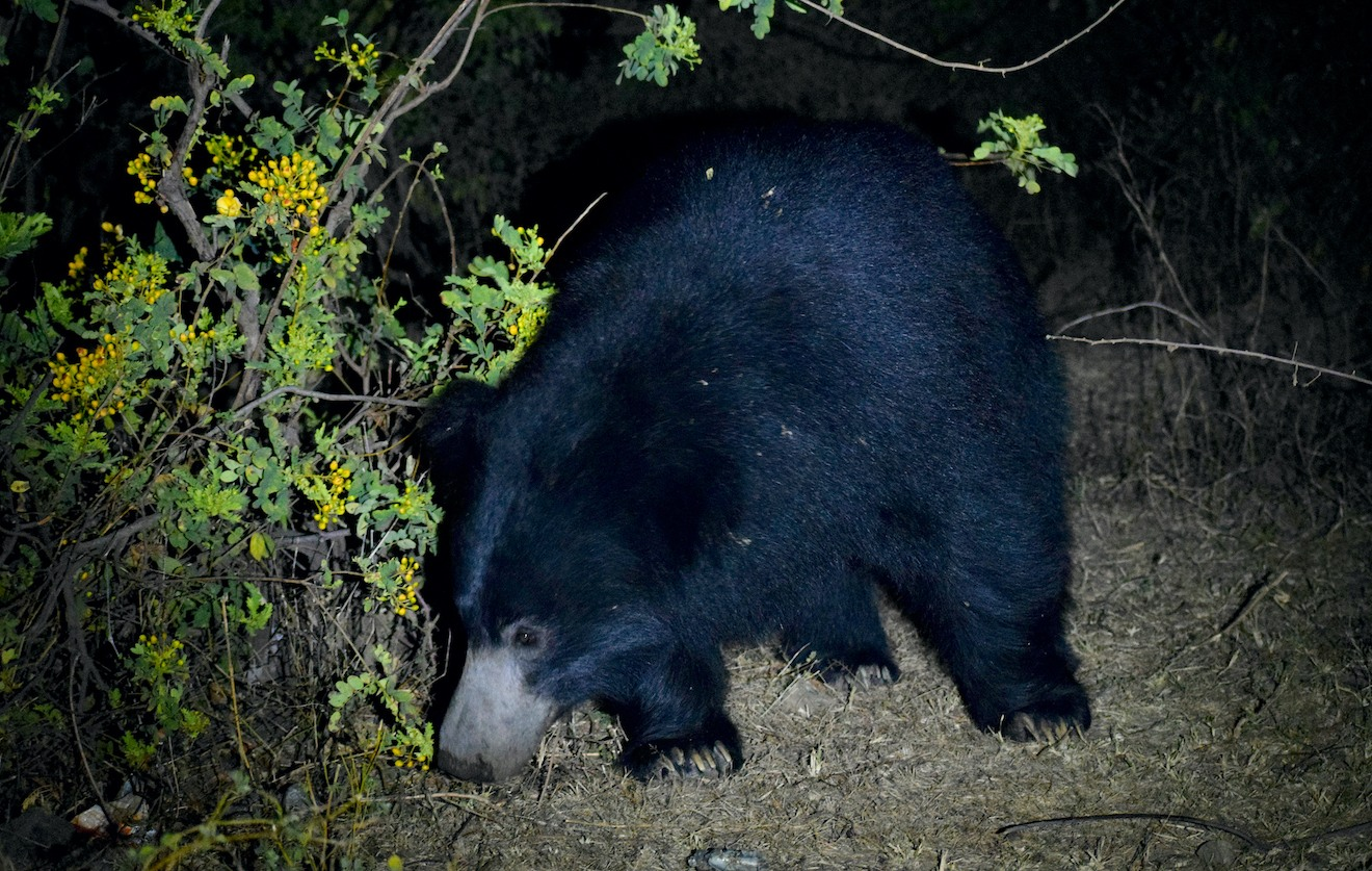 The sloth bear's diet also constitutes leaves, flowers and fruits and they occasionally venture out of the Kumbhalgarh Willdife Sanctuary in search of food. Photo: Utkarsh Prajapati