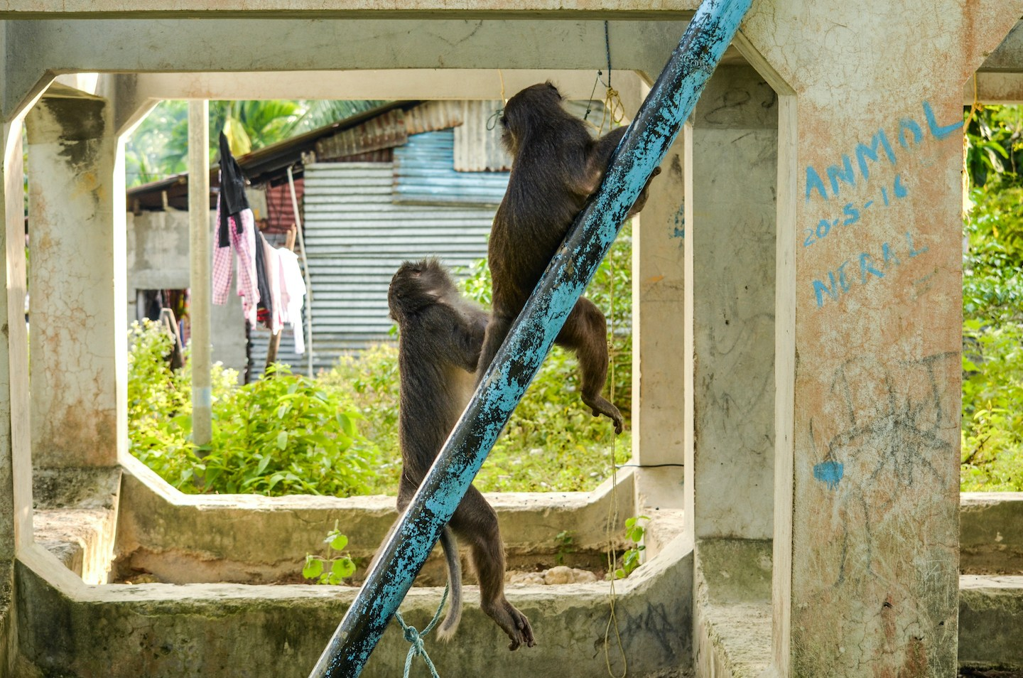 "Macaques use structures from the villages for rest, play, and movement. They move through village roads while searching for food, and are often chased away as the locals fear they will ""steal"" food from homes."