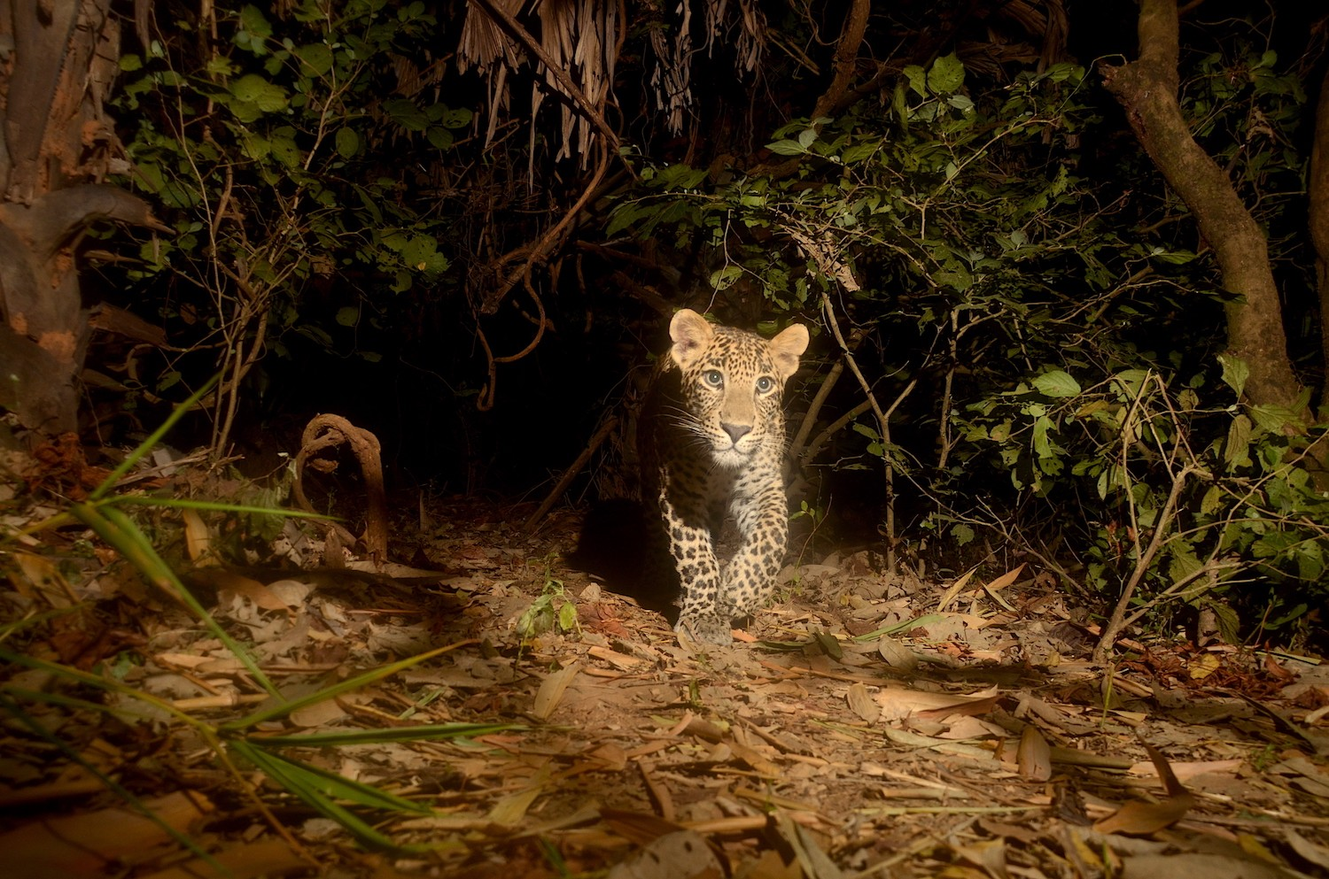 This is one of the two sub-adult cubs of Biyanca, a female leopard who resides in Aarey. Photo: Ranjeet Jadhav
