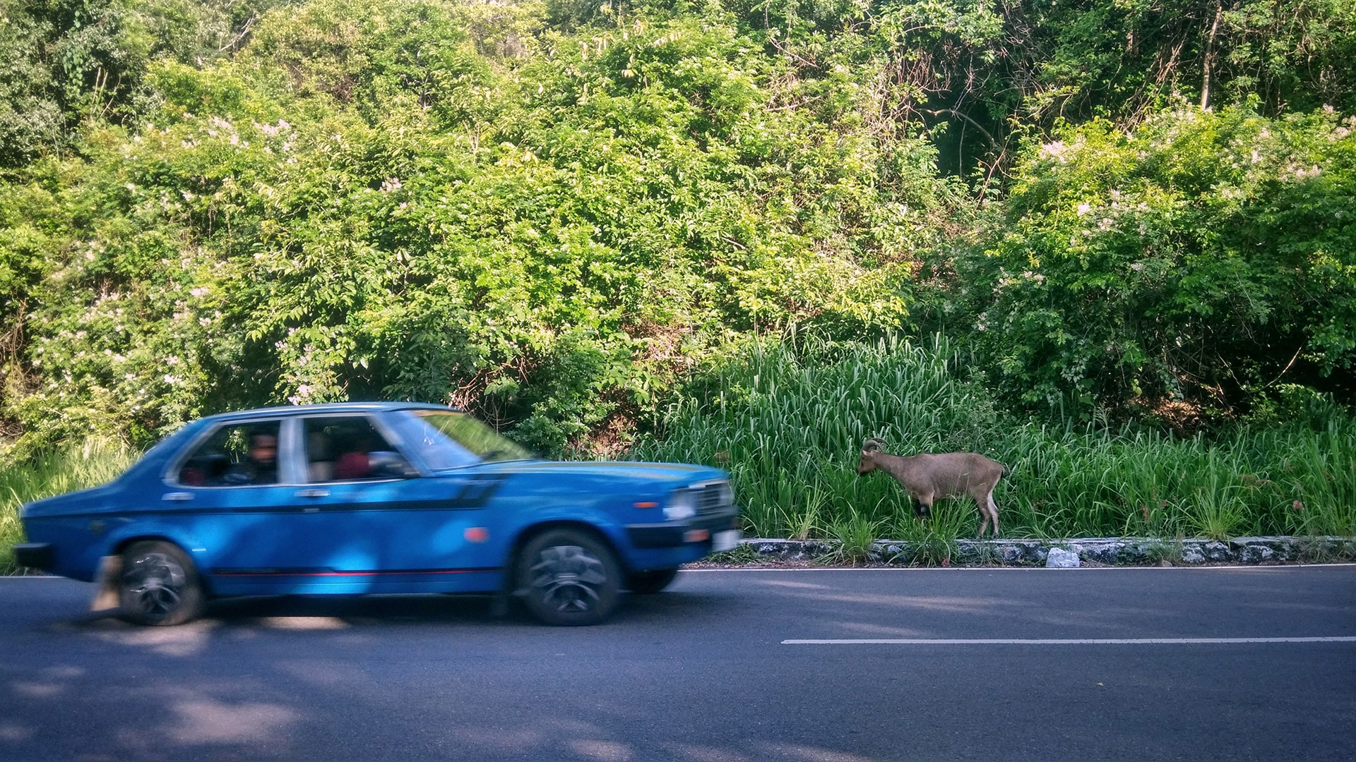 In Valparai, tahrs have become habituated to human presence largely due to feeding by people. Not only does this lead to health problems for Nilgiri tahrs, but can also lead to incidents of roadkill.  Photo: Vijay Karthick CC BY-SA 4.0