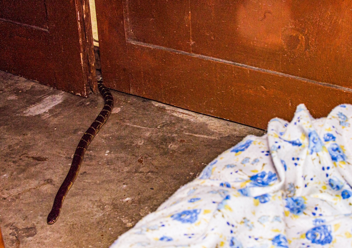 Kraits make themselves at home in rural Indian homes, frequently entering houses and other habitations both for prey and because they find nooks to hide. Photo: John Benjamin Owens