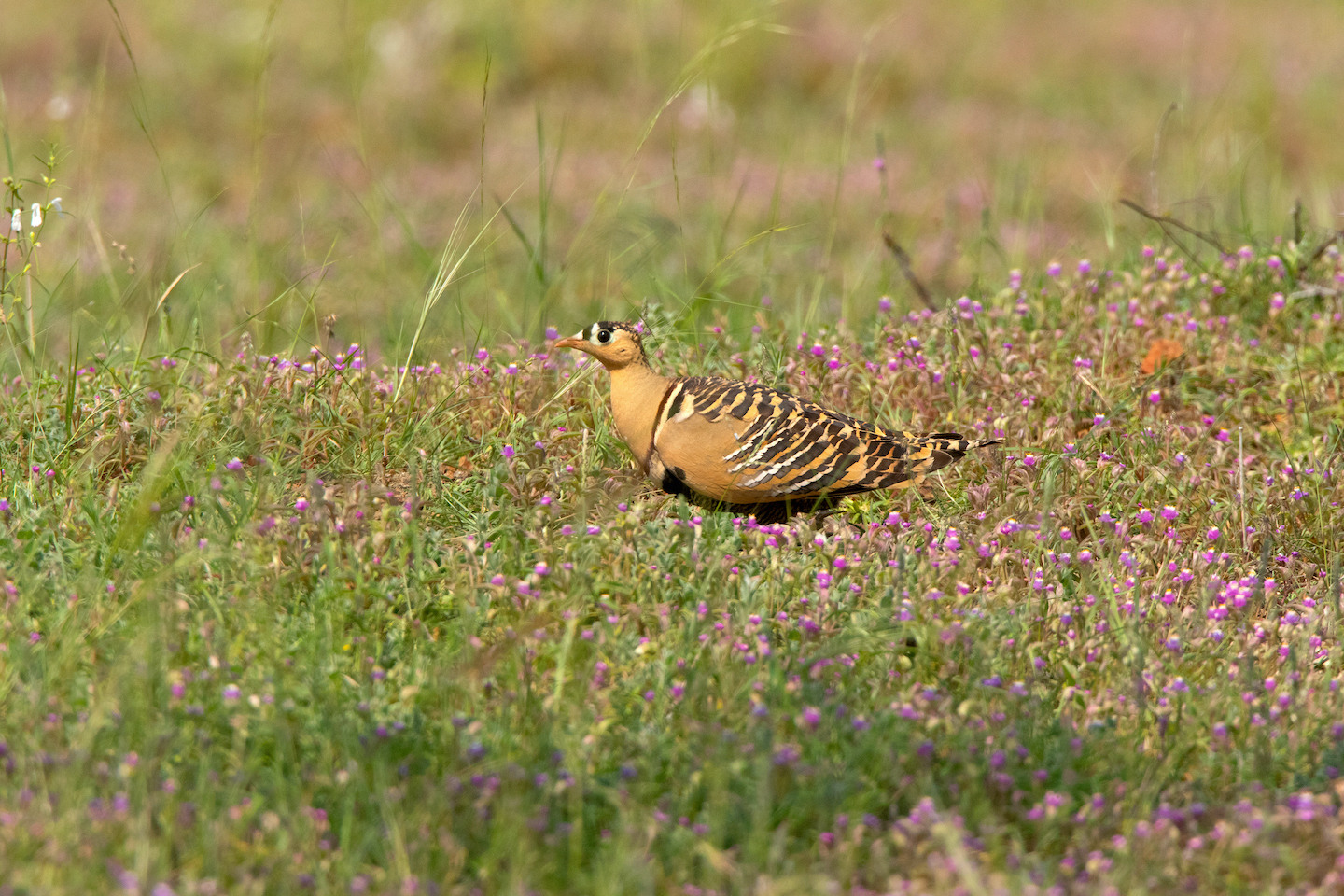 Apart from Maharashtra, the painted sandgrouse is found in Rajasthan, Karnataka, and Madhya Pradesh. This male bird was spotted in the Mayureshwar Wildlife Sanctuary in Maharashtra. Photo: Mihir Godbole