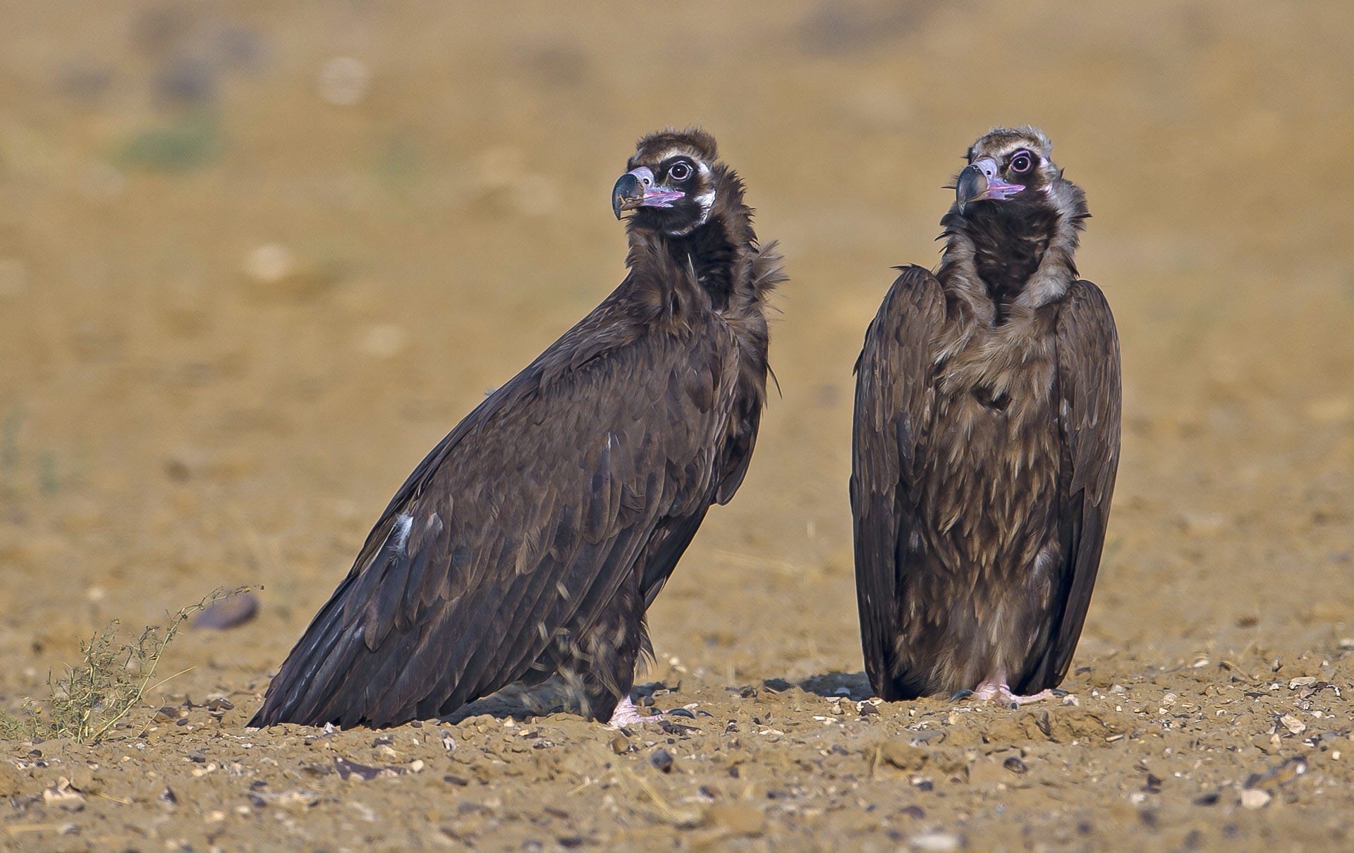 """Vultures, especially dark figures like the cinereous vulture (Aegypius monachus), get a bad rap for scavenging on carrion, but they perform crucial ecosystem services by keeping the nutrient cycle going and minimising the chance of disease from rotting meat. """"Cinereous vultures do not breed on the Indian subcontinent,"""" explains Dr Rahmani. """"They breed in Europe, Russia, Central Asia, Mongolia, and Northern China, with adult birds migrating to southern climes, sometimes within Europe."""" The juveniles however, migrate longer distances """"so most of the cinereous vultures that we see in India are juveniles or subadults that are darker than the adults"""". Photo: Dhritiman Mukherjee"""