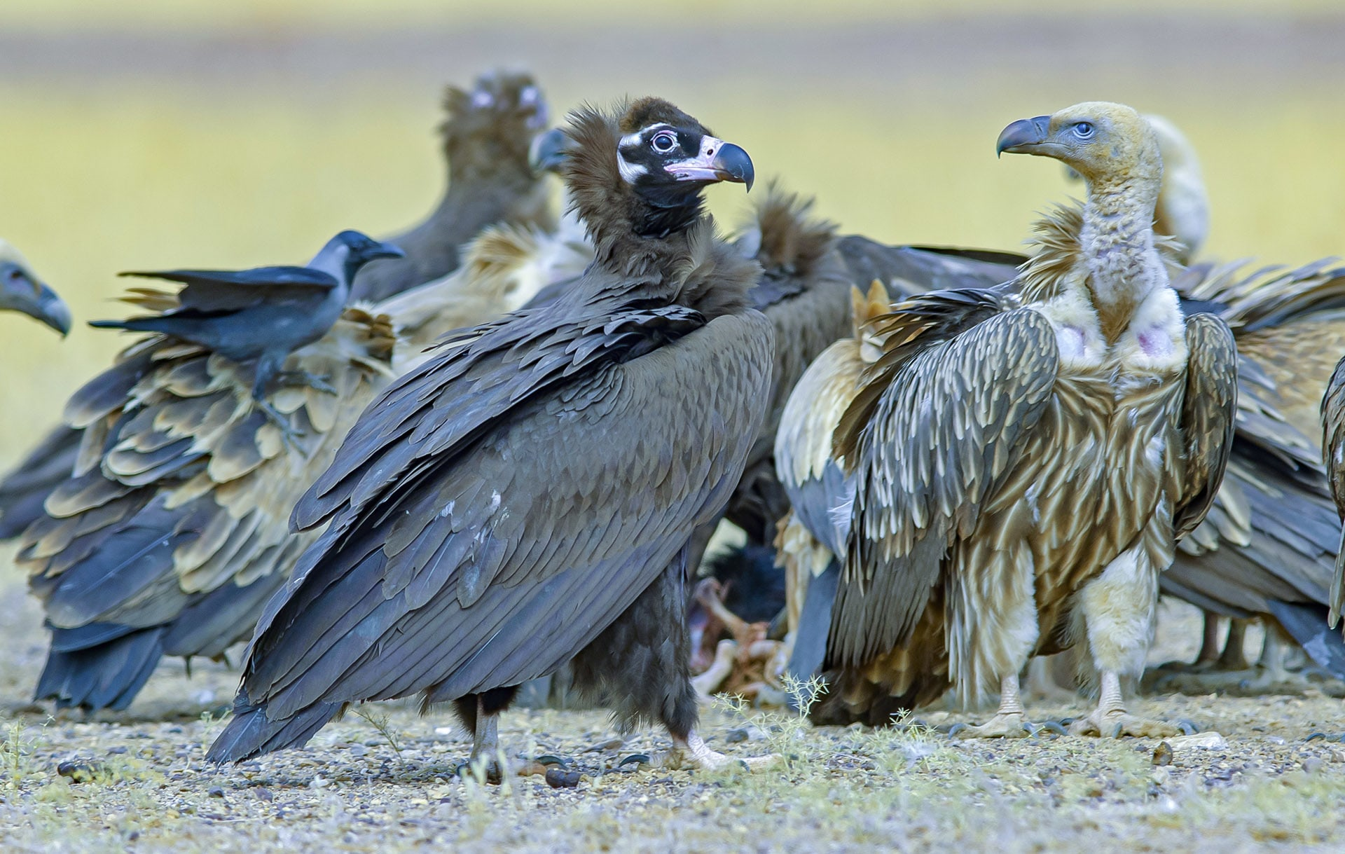 Both the Himalayan griffon (light brown) and cinereous vulture (dark brown) are winter visitors to Desert National Park. Cinereous vultures (Aegypius monachus) are the largest species of vulture with a huge wingspan that can measure up to 2.8 m. Himalayan griffons (Gyps hymalayensis ) are the second-largest vulture species. They can be seen in this park and in other parts of Rajasthan, sometimes together, feeding on the discarded carrion of livestock. Photo: Dhritiman Mukherjee