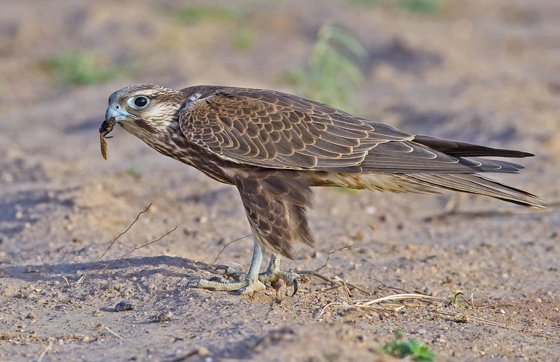 """In a research paper on breeding laggar falcons, Amith Rao and Kushal R Adaki, note that they """"saw the adults interacting with the juveniles in what seemed to be a training session. The adult birds would pick up twigs from the ground and fly to a height of one metre and drop the twig. The juveniles would try doing the same by holding the twigs in their bills, or talons — imitating a hunt."""" Later, they write, the juveniles were observed hunting babblers, eating lizards, even attacking crows. Photo: Dhritiman Mukherjee"""