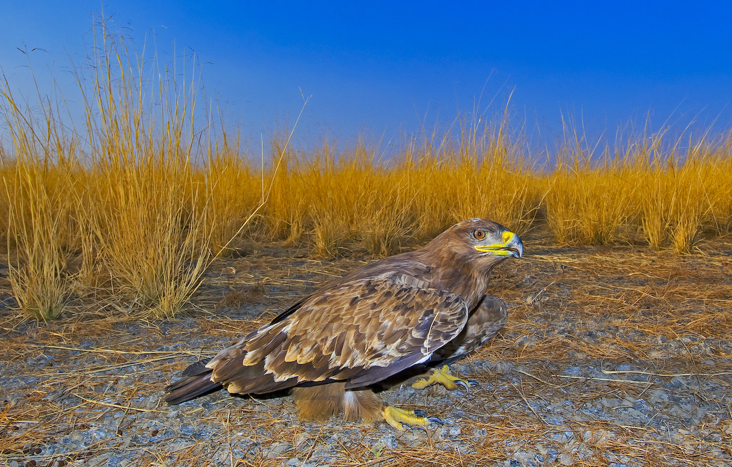 Another purely migratory visitor to the Desert National Park is the steppe eagle. The birds arrive around November every year, from Mongolia, Russia, and northern China, and linger until March. Though it is much warmer in India compared to icy Siberia, the Thar Desert can get cold in winter. In December, temperatures around Jaisalmer often dip to as low as two degrees Celsius. Photo: Dhritiman Mukherjee