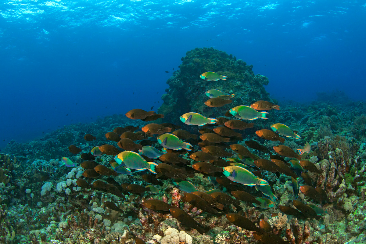 A school of greenthroat parrotfish adult males (the colourful ones) with drab colour females and juveniles, roving the reef in search of algae. Photo: Cingular/Shutterstock  A typical reef scene peppered with anthias harems, fluttering about in a plankton feeding frenzy, in the Andaman Islands. Cover Photo: Vikas Nairi