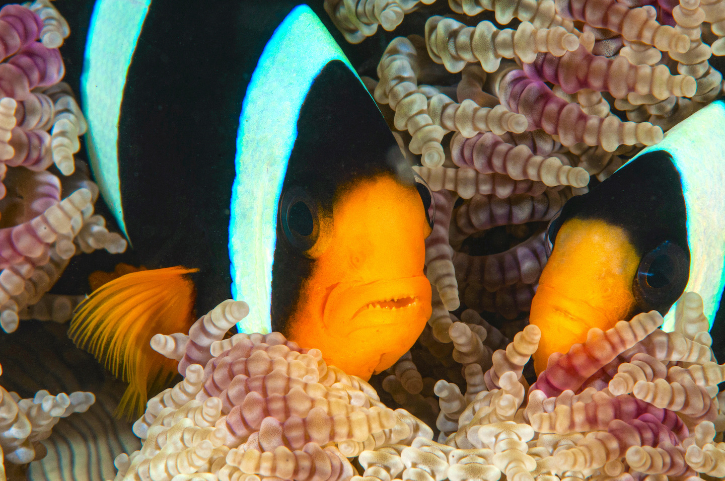A Clark's anemone fish (Amphiprion clarkii) mating pair sheltering inside their anemone home. Photo: Umeed Mistry
