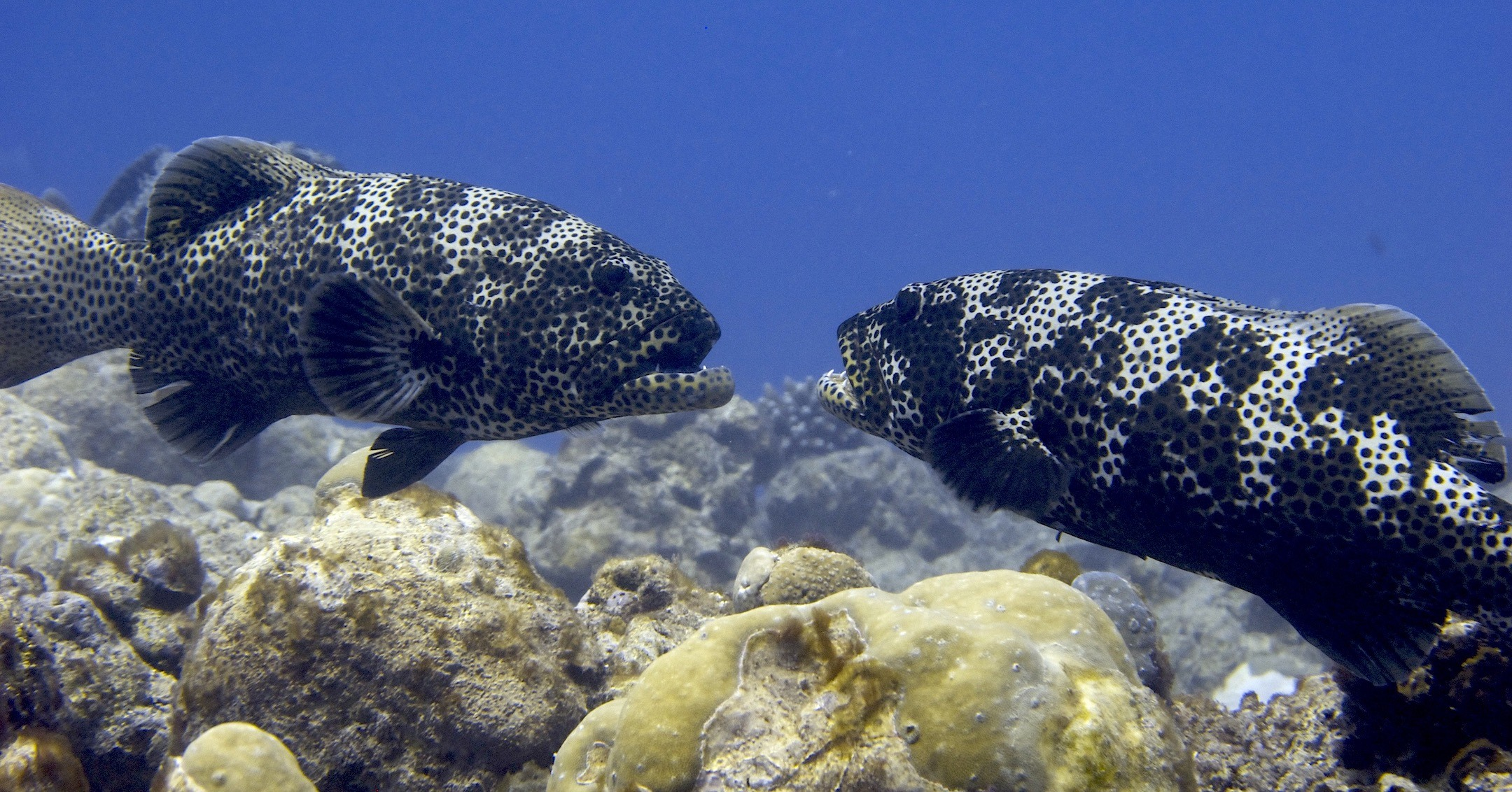 Two male squaretail groupers fighting for territory in the waters around the Lakshadweep Islands. Photo: Rucha Karkarey