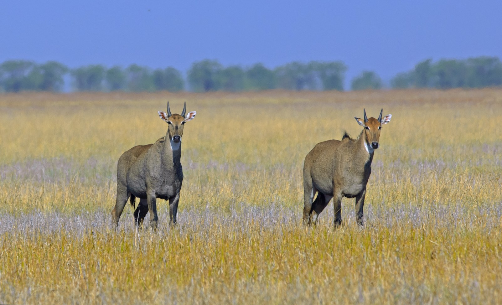 Male blackbuck (above) are easily distinguished from females, by their handsome, spiralling horns and darker bodies. Blackbuck and nilgais (below) were both prized by hunters in pre-Independence era. Photos: Dhritiman Mukherjee
