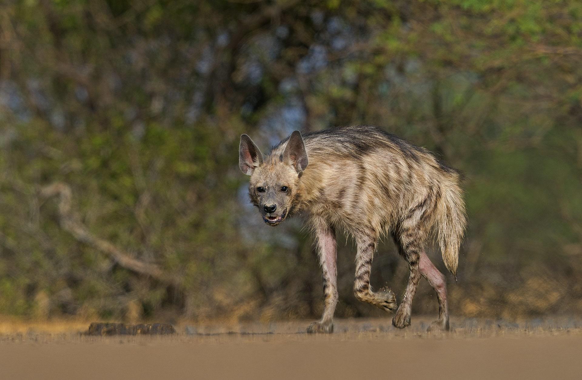 Canids are feared predators in Velavadar. The park has thriving populations of wolves (top) and striped hyenas (below), both predator of blackbuck and nilgai. Photos: Pratim Partha Kundu (top), Dhritiman Mukherjee (above)