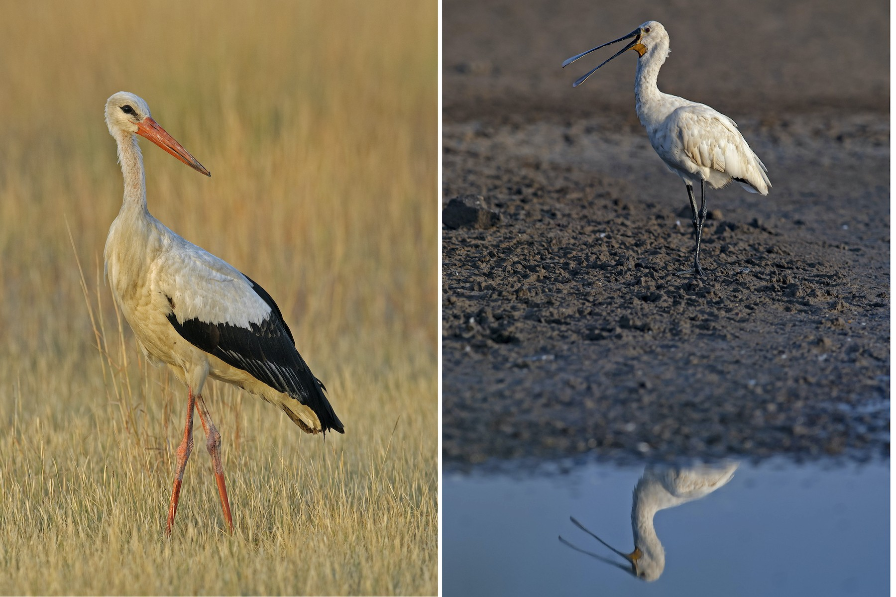 Winter is a season of great diversity in Velavadar, especially near water bodies where birds such as the white stork (left) and spoonbill (right) can be sighted.  Photos: Dhritiman Mukherjee