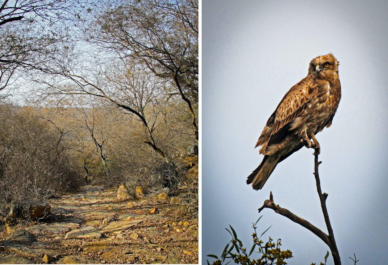 Mangar's rocky landscape holds relics of the biodiversity found in the Aravali mountains, one of the oldest ranges in the world. Found in hilly dry habitats that offer some level of tree cover, the short-toed snake-eagle (right) can be seen keeping an eye out for its favourite prey – snakes and lizards. Photos: Abhishek Gulshan