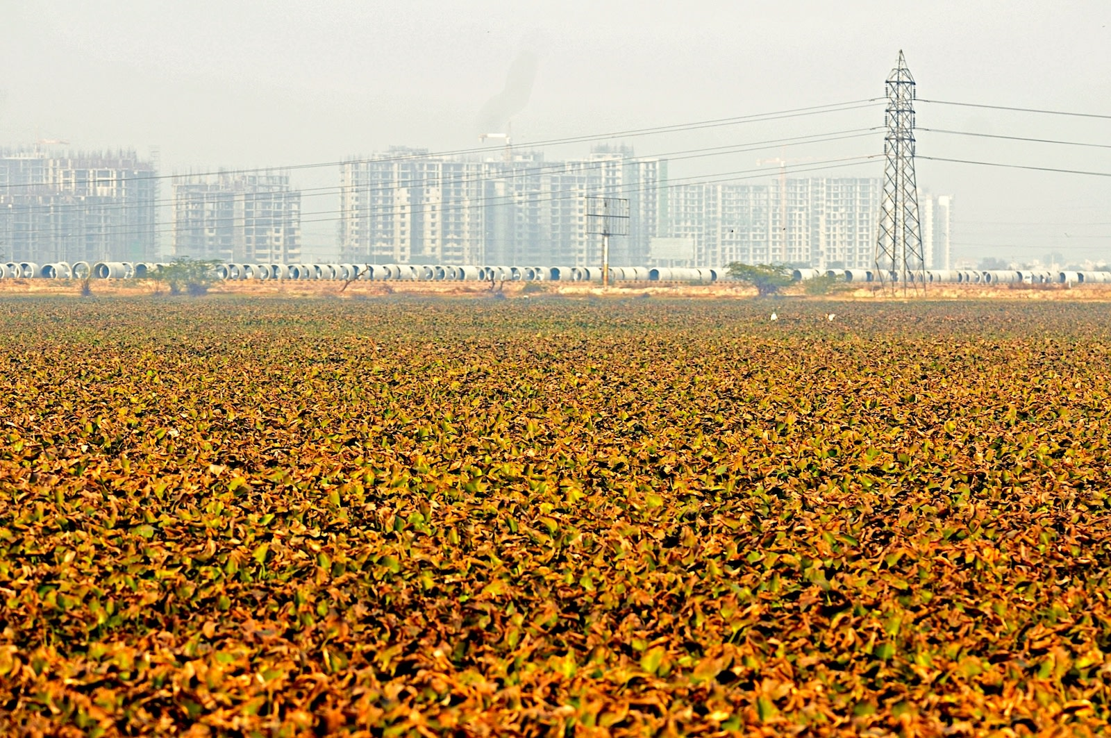 Rampant construction threatens to smother Basai's ecosystem, as does the proliferation of water hyacinth plants that blanket the water's surface in some parts. Photo: T. R. Shankar Raman - CC BY-SA 3.0