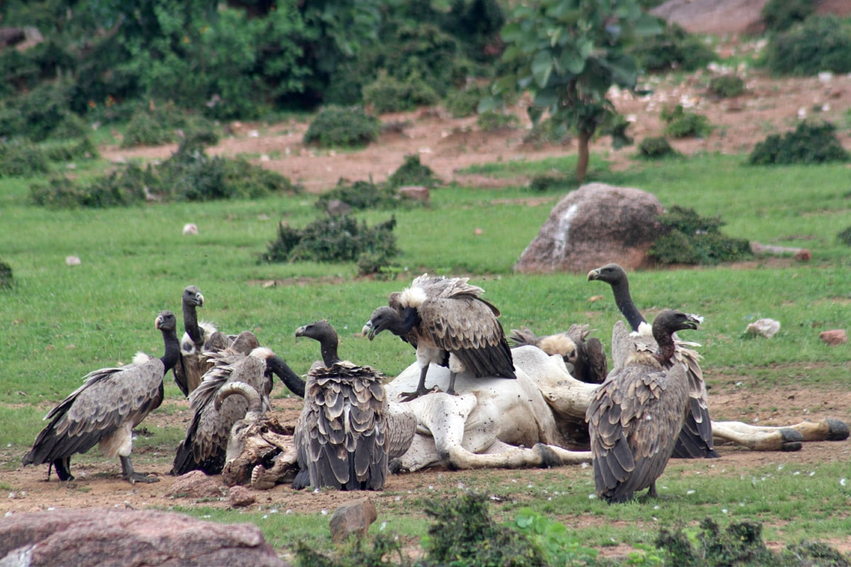 Vultures scavenge on dead livestock but most of the vulture species find it difficult to penetrate a large animal's hide. Photo: Akhilesh Kumar, IBCS
