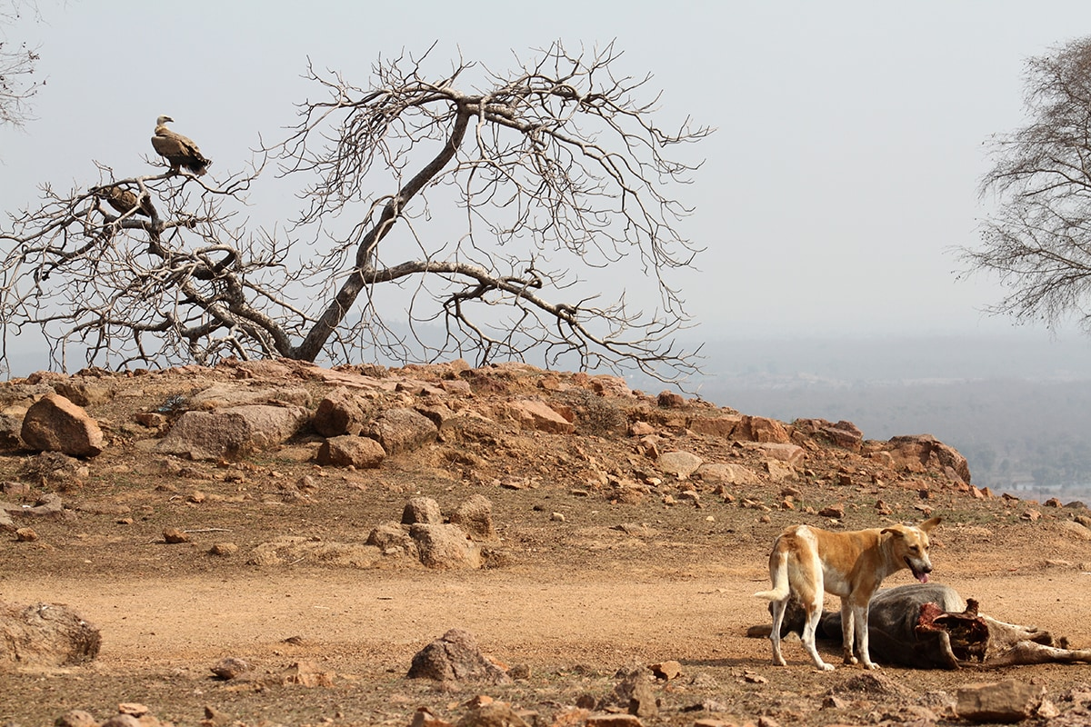 Competition with feral dogs feeding on livestock carcass reduces the food available for vultures in Bundelkhand. Photo: Akhilesh Kumar, IBCS