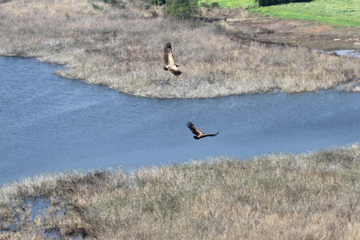 Vultures glide over the banks of river Betwa. Photo: Akhilesh Kumar, IBCS