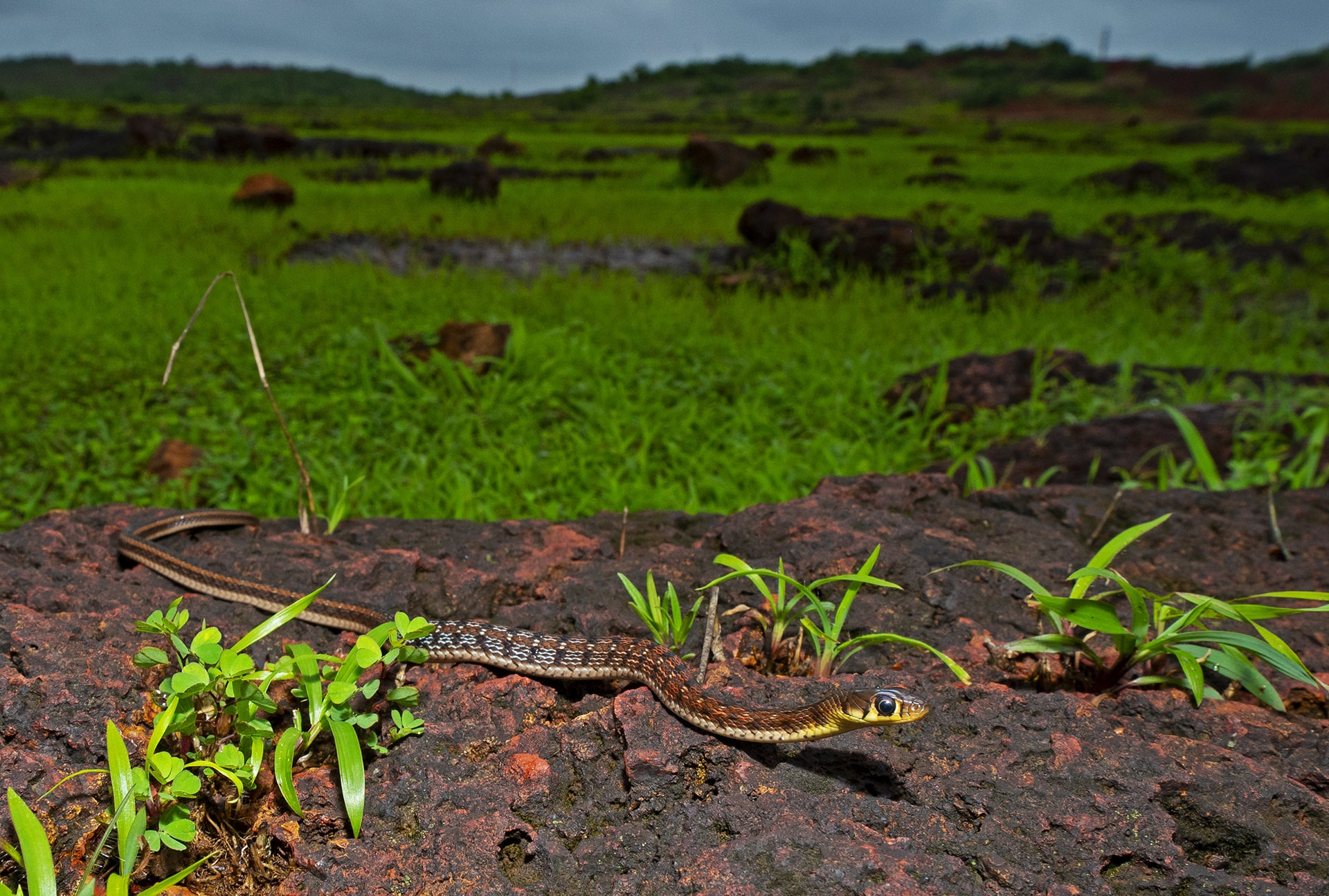 This habitat has a thriving population of snakes, ranging from the venomous Ssaw-scaled viper (Echis carinatus) (top), to the relatively harmless Sstriped keelback (Amphiesma stolatuma) (below)
