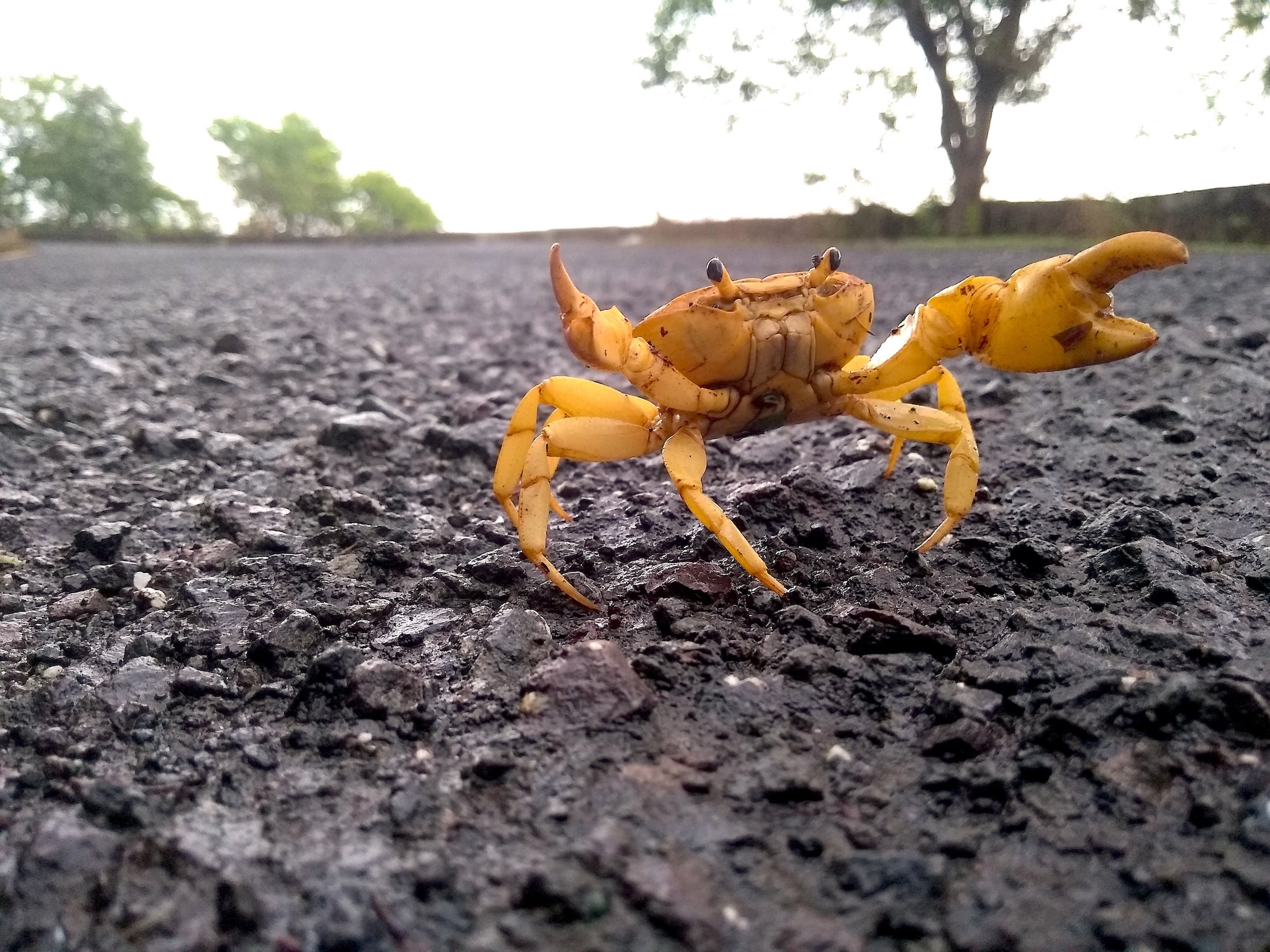 In wet weather, freshwater crabs can often be seen on the road that winds up Kharghar Hills, finding refuge and in pools created alongside the road as the monsoon begins to set in. Photo: Anirudh Nair