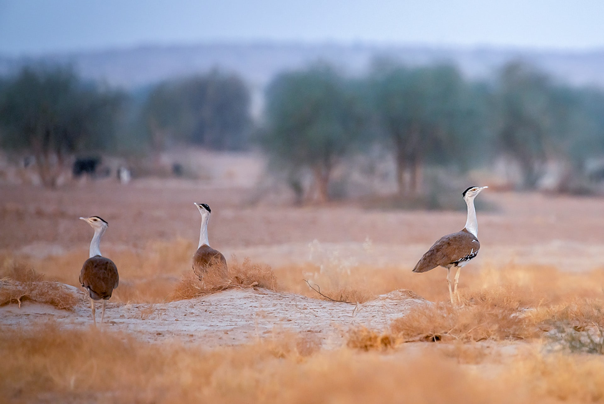 The park is one of the last strongholds of the great Indian bustard, which needs very specific arid and semi-arid habitats with scrub and tall grass to survive. 