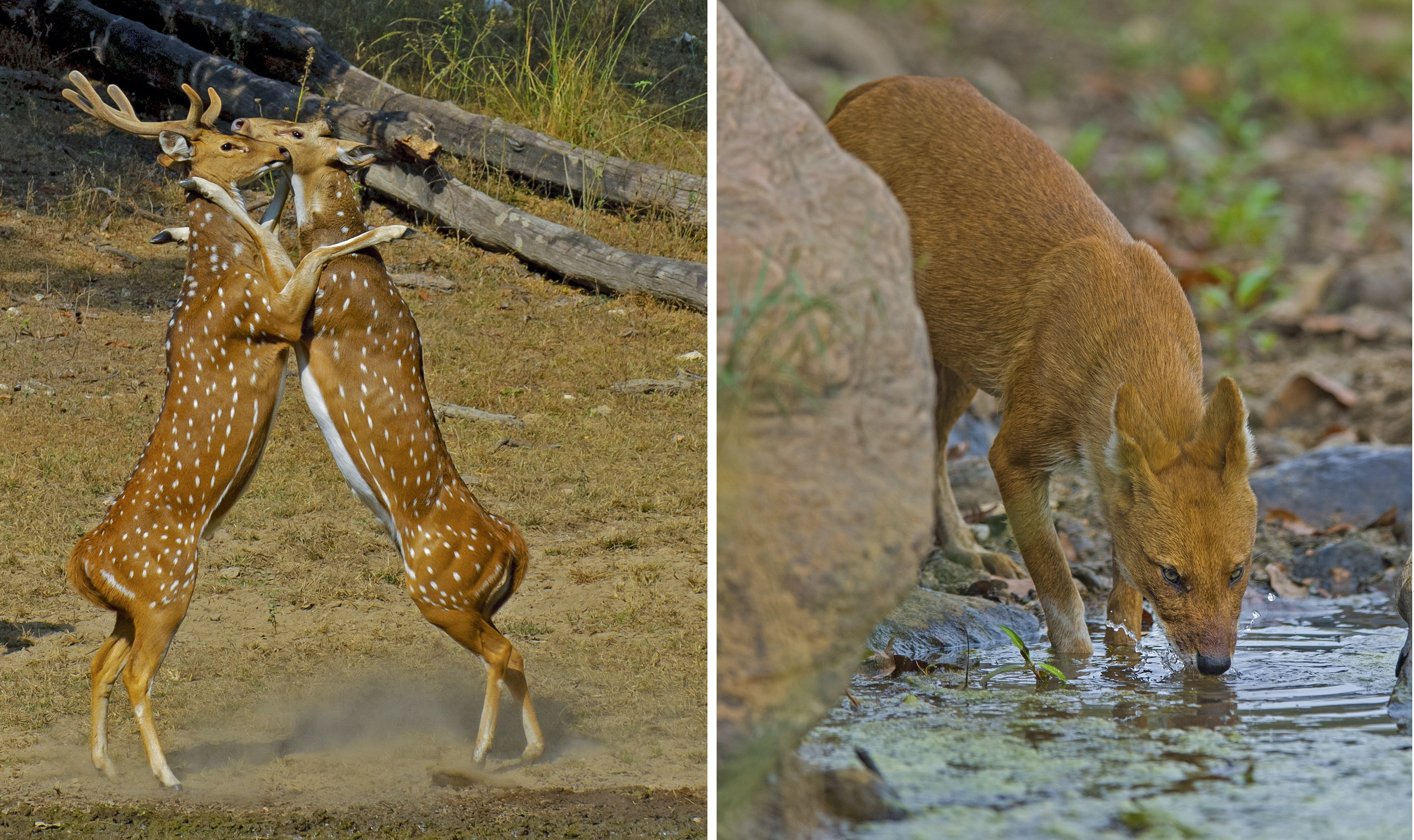 Left: In the main rutting season male chital, or spotted deer, will spar using their antlers, even getting onto their hind legs to assert themselves. Right: Dhole, the Indian wild dog, is an adept predator that lives and hunts in packs. Groups work together to bring down prey much larger than themselves, like sambar and spotted deer.