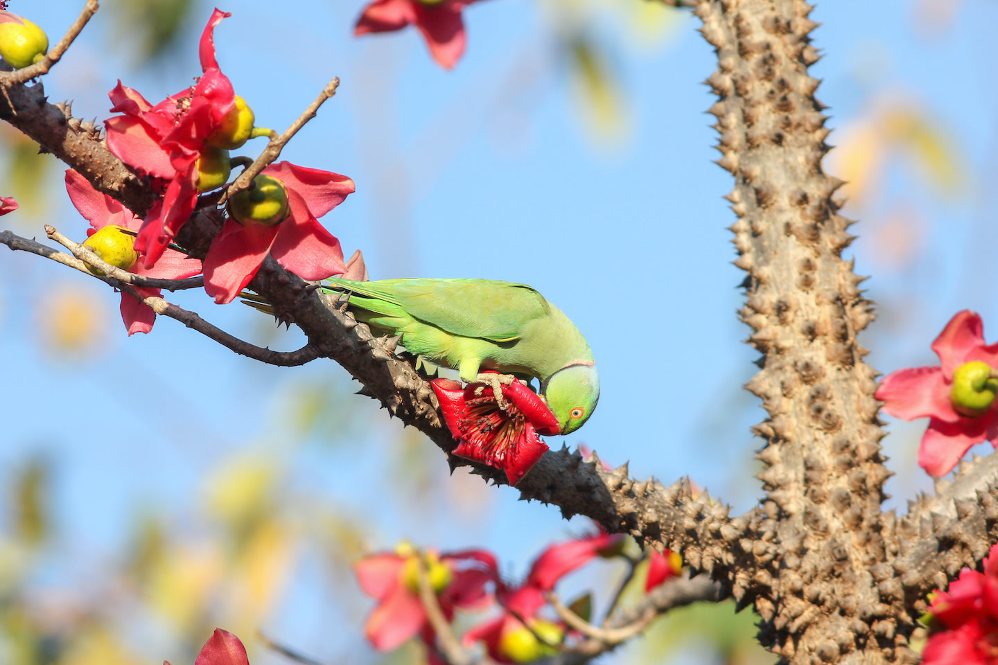 A rose-ringed parakeet eats a semal flower. The semal flowers once a year in the spring, the tree putting out gorgeous, red, yellow, or orange flowers which are eaten by scores of birds. Photo: Vickey Chauhan/Shutterstock  The first wild bird I fostered was an injured common myna, which feeds on insects, scavenged meat, and fruit. Photo (top): Cholpan/Shutterstock  A still from the film Life of Pi. In the film, the protagonist Pi is marooned on a boat at sea with a tiger called Richard Parker. Cover Photo courtesy: Fox Star India