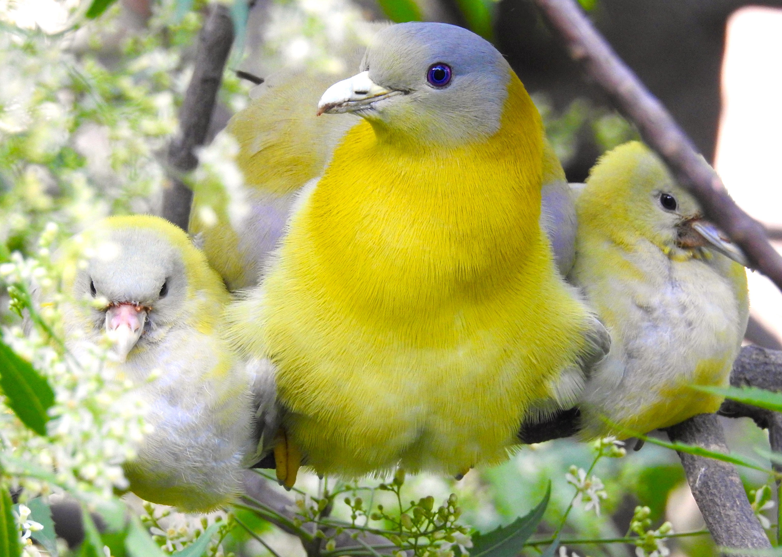 Yellow-footed green pigeon mother sits among neem tree blossoms, flanked by her chicks. Each day, the mother would leave her young for short periods of time, and they would sit, perfectly camouflaged till her return. Photo: Neha Sinha