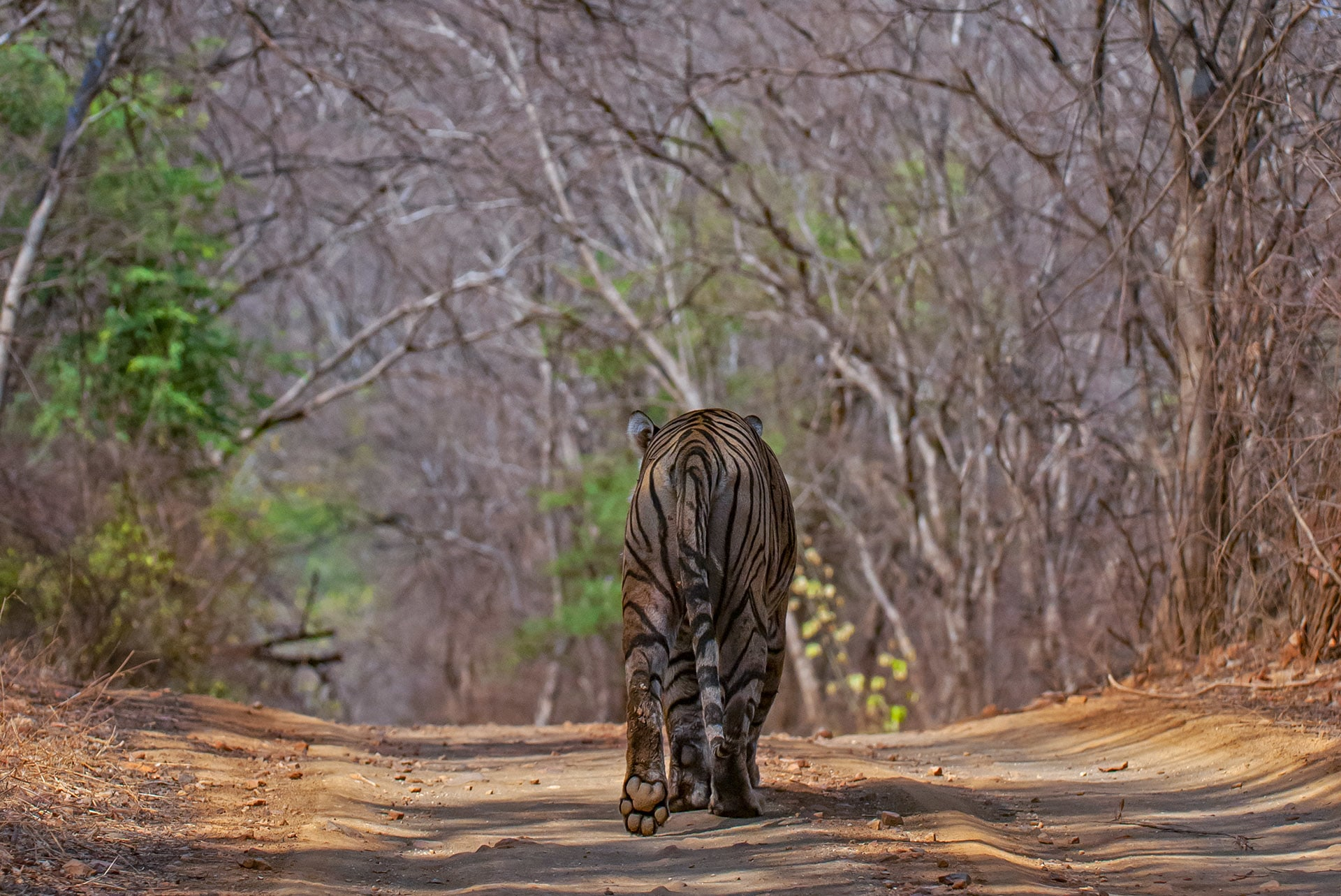 A Bengal tiger walks away, uninterested in its admirers. Photo: Dhritiman Mukherjee