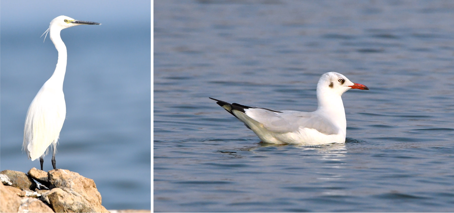 The little egret (left) is a common resident of Bhigwan. A winter migrant, the brown-headed gull (right) is seen here in its non-breeding plumage wearing red lipstick and kohl. Photos: Richa Malhotra