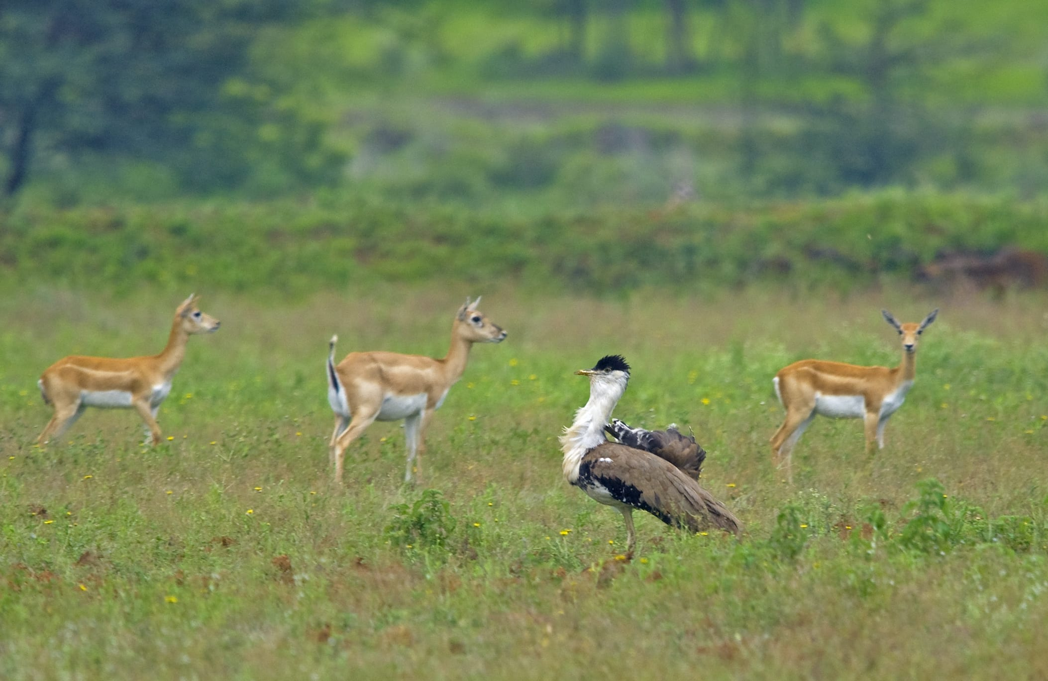 "These ""good sites"" must be earned, and male great Indian bustards will fight each other for prized positions within the community lek. ""Subadult males are allowed in the adult's territory, but other adult males are not tolerated in the breeding season,"" says Dr Rahmani, adding that ""females are welcome all the time."" Photo: Dhritiman Mukherjee"