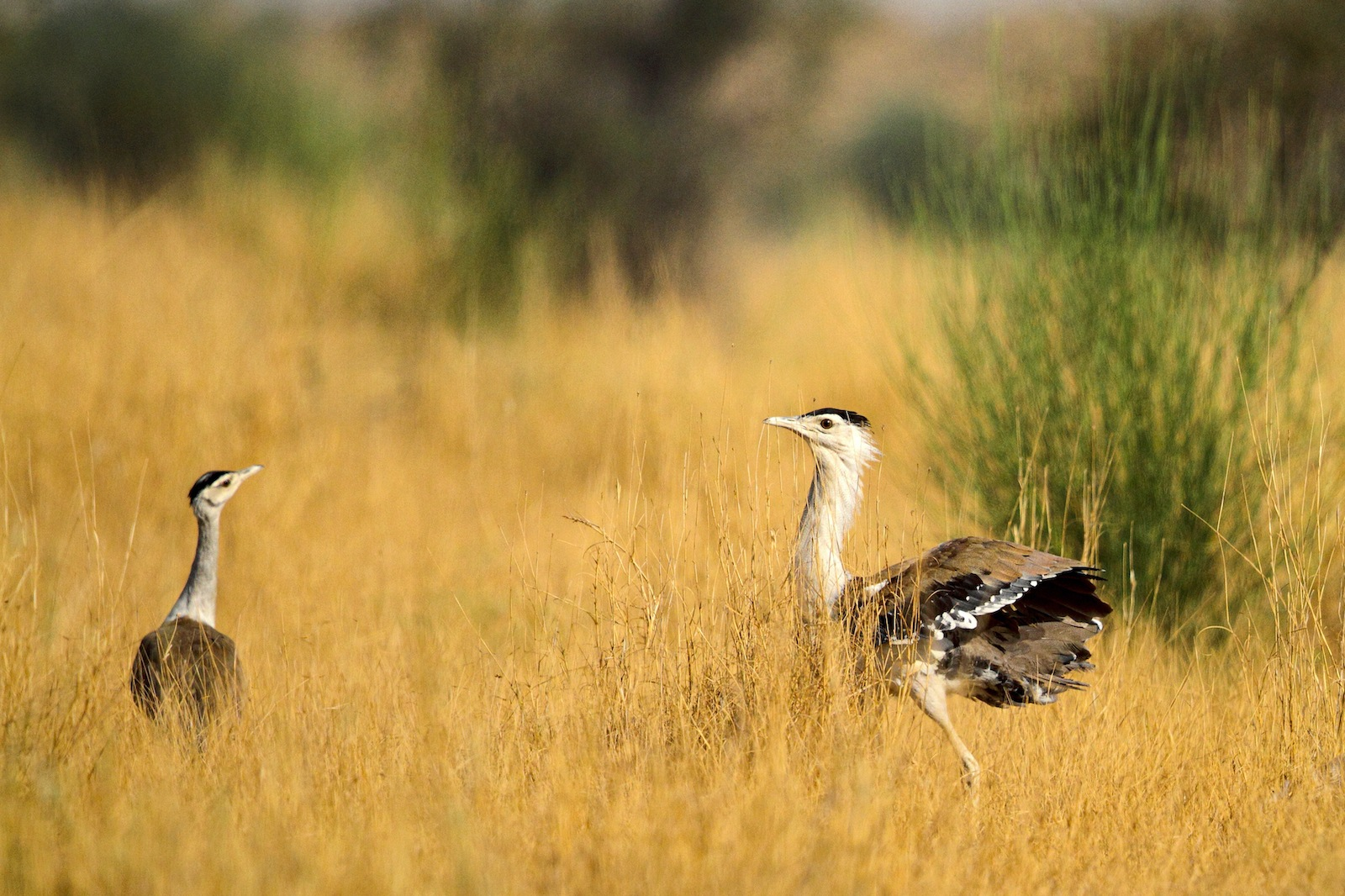"In addition to the breeding programme, Dr Rahmani says, on-ground conservation measures are needed to curtail the threats faced by these birds. These include ""the control of free-ranging stray dogs in areas populated by the birds"", since bustards are largely terrestrial and nest on the ground. Also, ""the involvement of locals through regulated tourism activities in areas such as the Desert National Park; and anti-poaching squads dedicated to monitoring the great Indian bustard."" Photo: Gobind Sagar Bharadwaj"