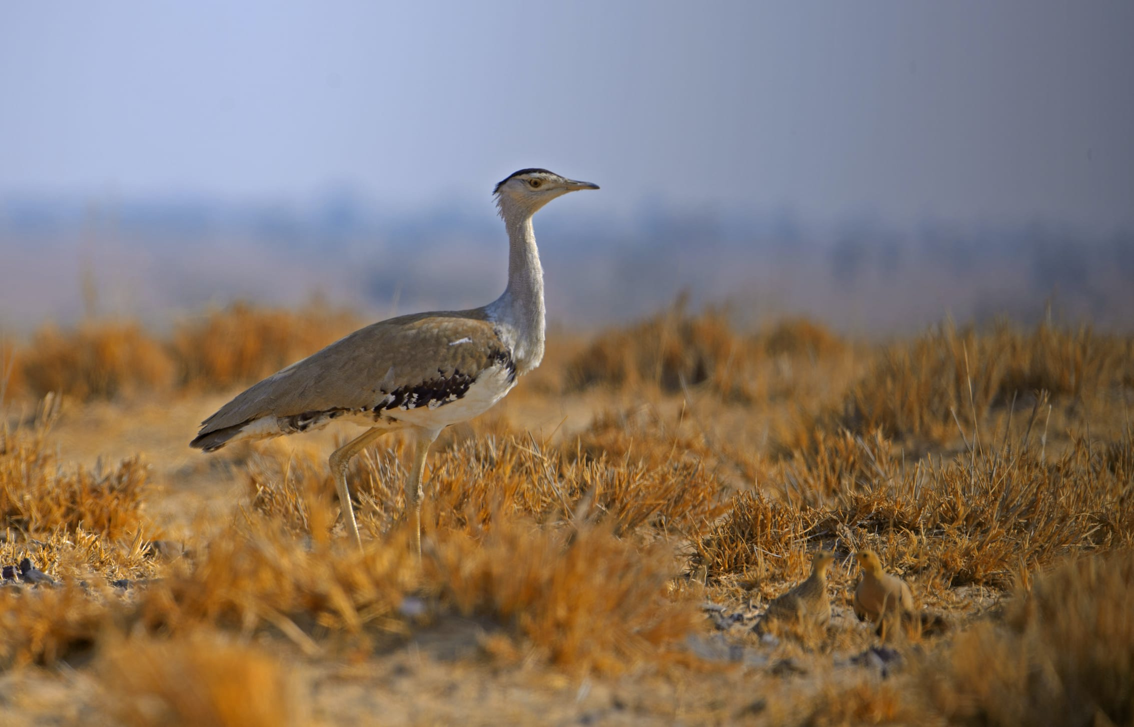 "Great Indian bustards probably live for 15 to 20 years, ""but we do not know for sure, as we do not have good, scientific data on marked birds,"" says Dr Rahmani. Like many species in India, long-term research on the great Indian bustard is wanting, making conservation efforts difficult. Photo: Dhritiman Mukherjee  There are four species of bustards in India: the lesser florican, Bengal florican, MacQueen's bustard, and the great Indian bustard (Ardeotis nigriceps), which inhabits the grasslands and desert regions of the Thar Desert of Rajasthan, with smaller populations in Kutch, Gujarat and parts of the Deccan Plateau. The birds feed on ""insects, lizards, small snakes, and some green vegetation,"" says Dr Rahmani. Cover photo: Devesh Gadhavi"