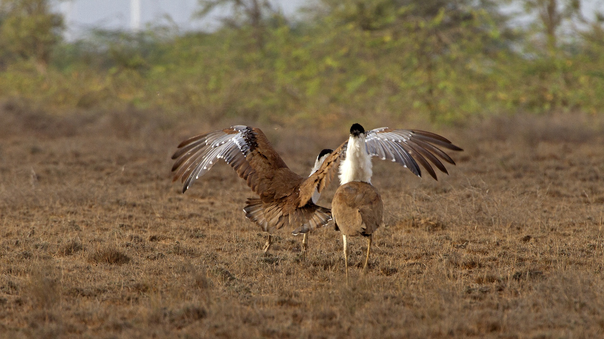 "Great Indian bustards display ""site fidelity"", meaning adult males return to the same site every year for courtship displays. ""I monitored one site in Solapur for 30 years, where males would return year after year,"" says Dr Rahmani, ""As soon as an adult male died, another took its place. Good sites are at a premium, so as soon as there is a vacancy, another male occupies it."" Photo: Devesh Gadhavi"