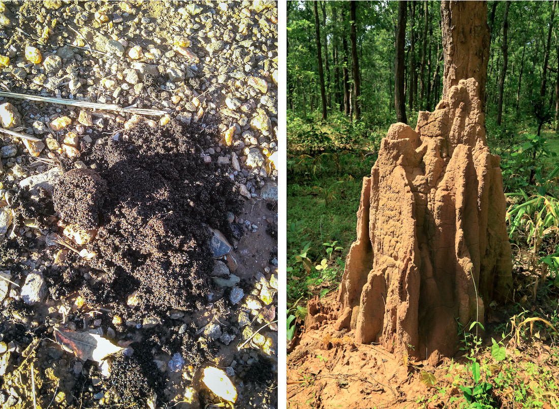 The remains of termites and ants glitter under the morning sun in fresh sloth bear scat (left), a dead giveaway of what it had for its last meal. Ants and termites constitute a major part of a sloth bear's diet and they will demolish an anthill (right) to get to its residents.
