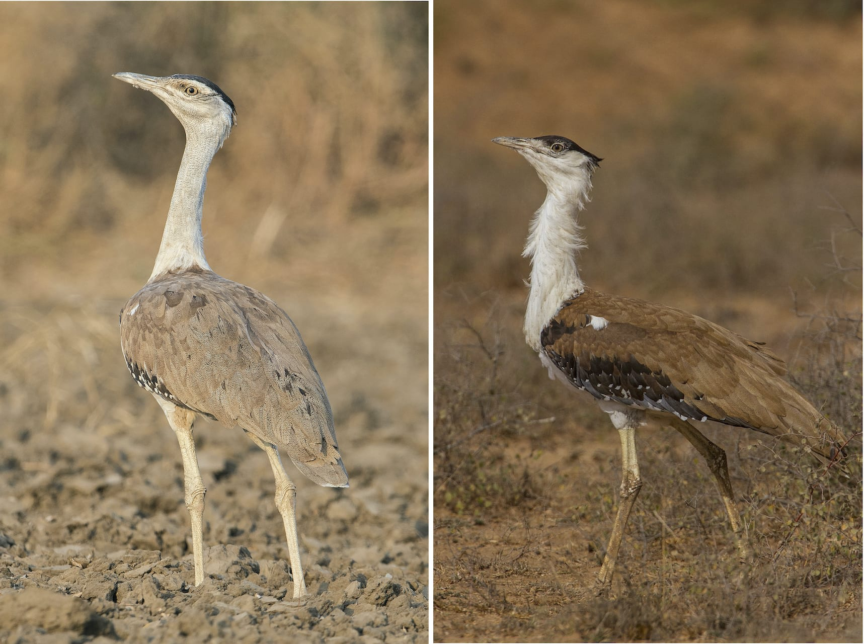 "Great Indian bustards (GIB) are quite social in nature. During non-breeding season, the birds spend their time in gendered flocks. ""Males move together, and females and their young ones move together,"" explains Dr Rahmani, ""though males and females do flock together if there is a good feeding ground."" The sexes are similar in appearance, though females (left) are slightly smaller, and paler in colour compared to males (right). Photos: Devesh Gadhavi"
